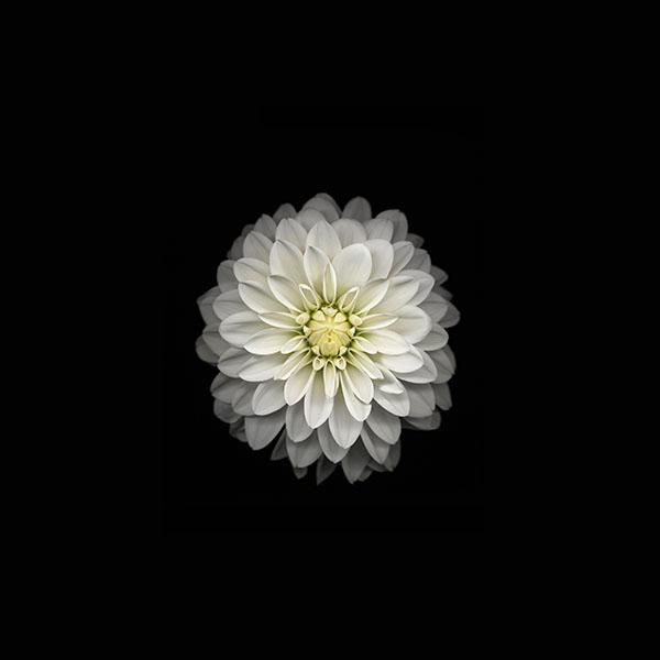 iPapers.co-Apple-iPhone-iPad-Macbook-iMac-wallpaper-ac91-wallpaper-apple-iphone6-plus-ios8-flower-white