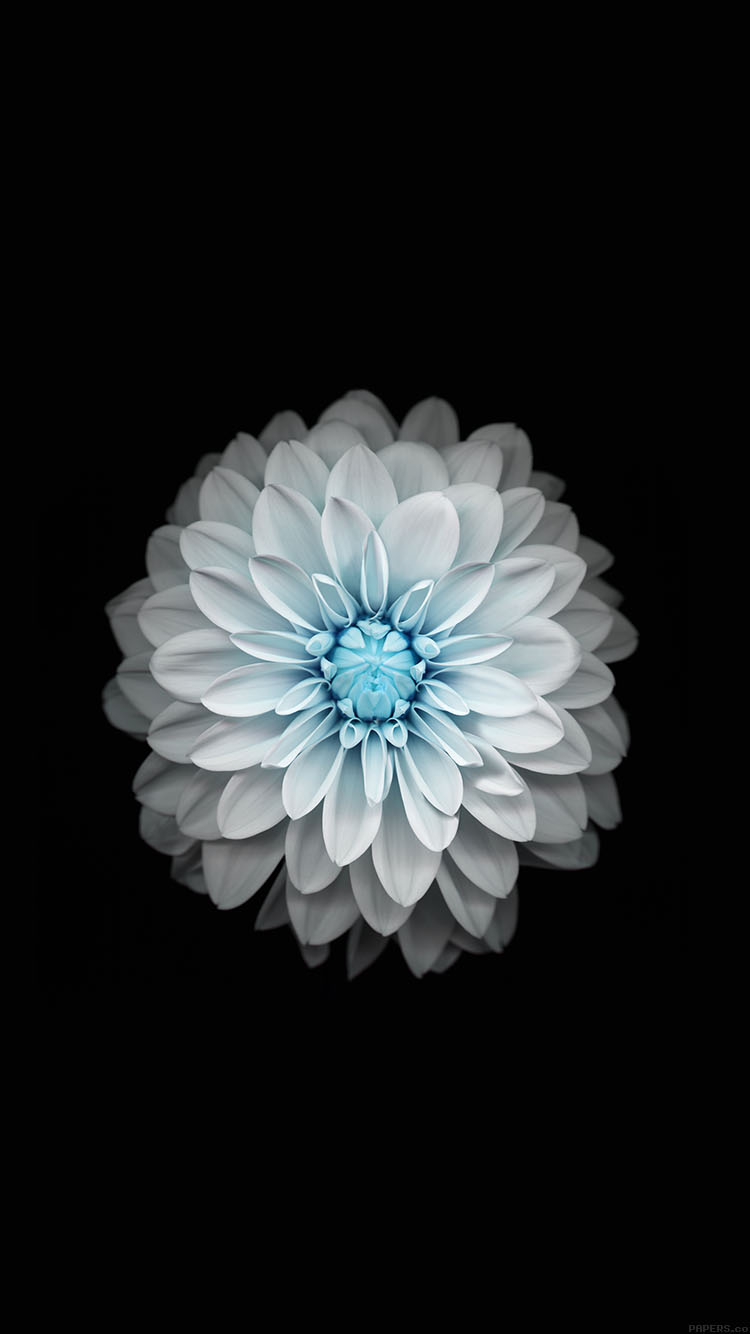 iPhonepapers.com-Apple-iPhone8-wallpaper-ac92-wallpaper-apple-iphone6-plus-ios8-flower-blue