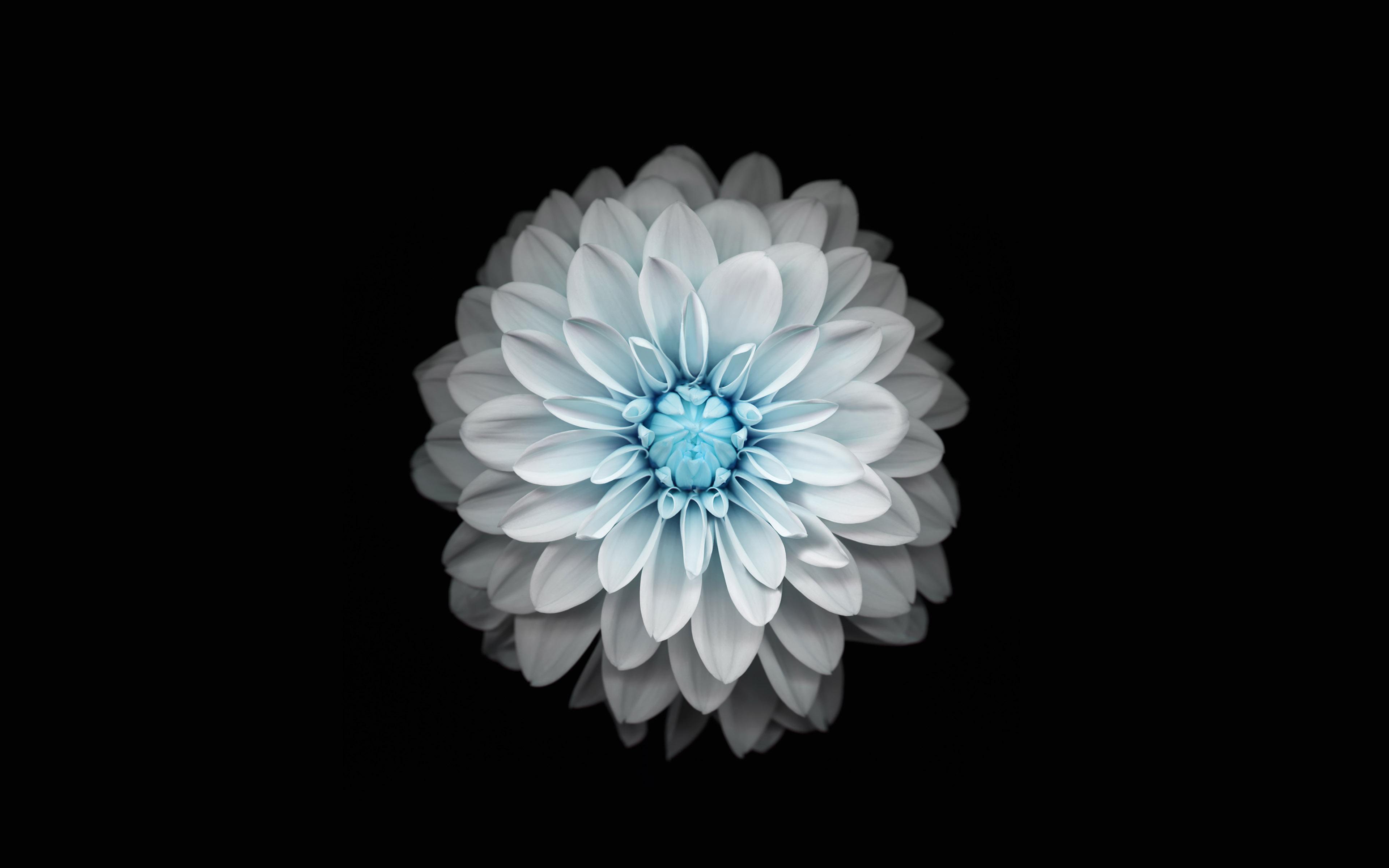 Ac92 Wallpaper Apple Iphone6 Plus Ios8 Flower Blue Wallpaper