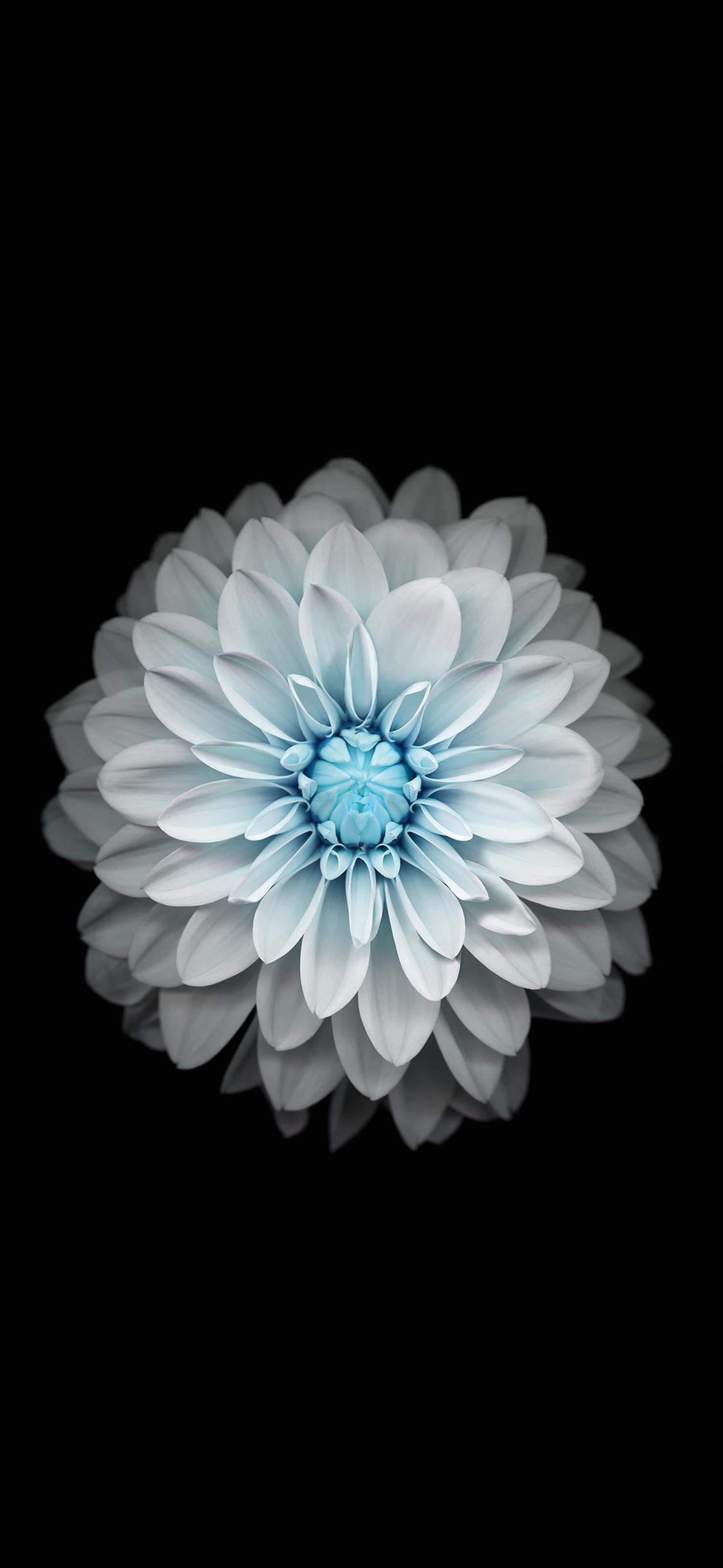 iPhoneXpapers.com-Apple-iPhone-wallpaper-ac92-wallpaper-apple-iphone6-plus-ios8-flower-blue
