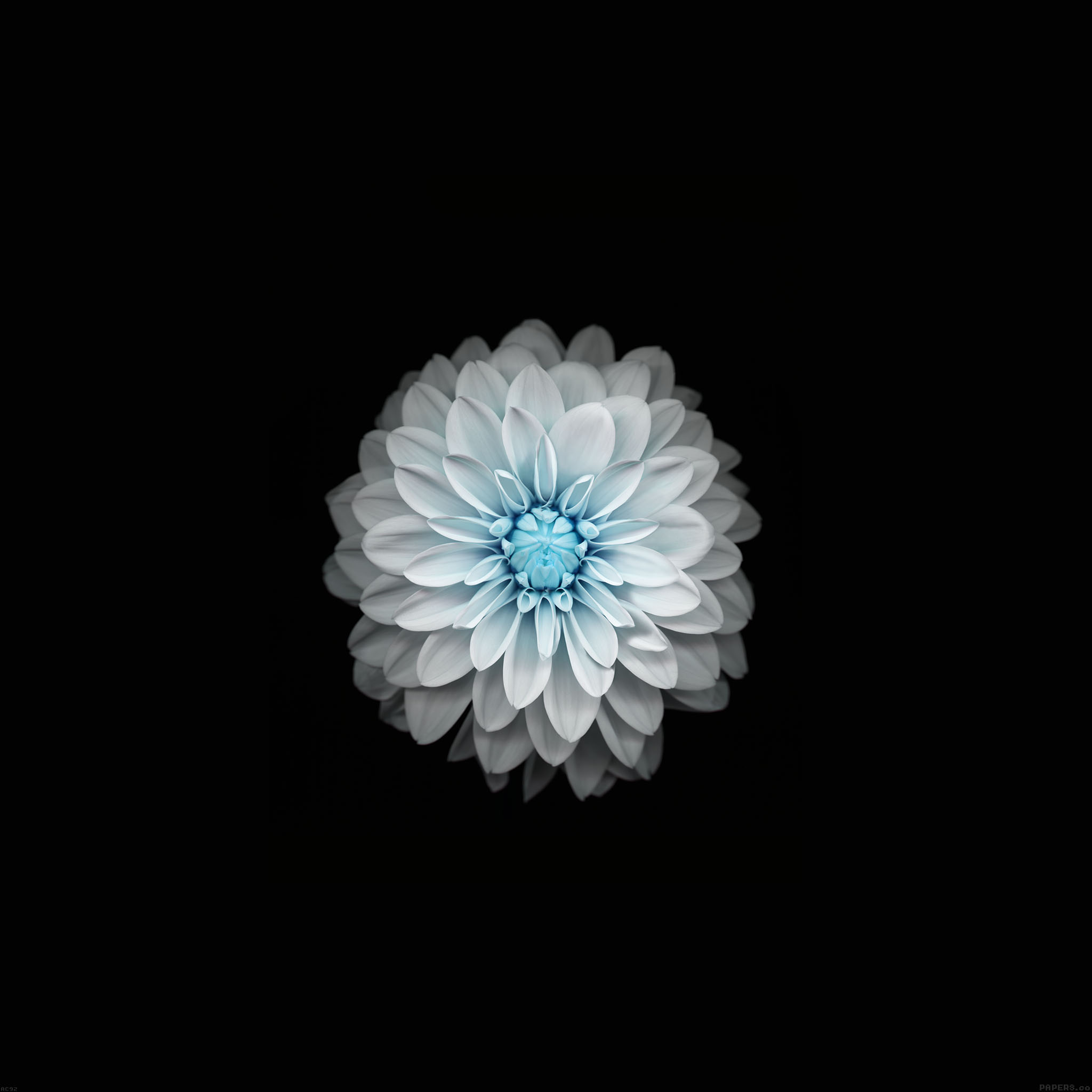 Iphone6 Wallpapers: Ac92-wallpaper-apple-iphone6-plus-ios8-flower