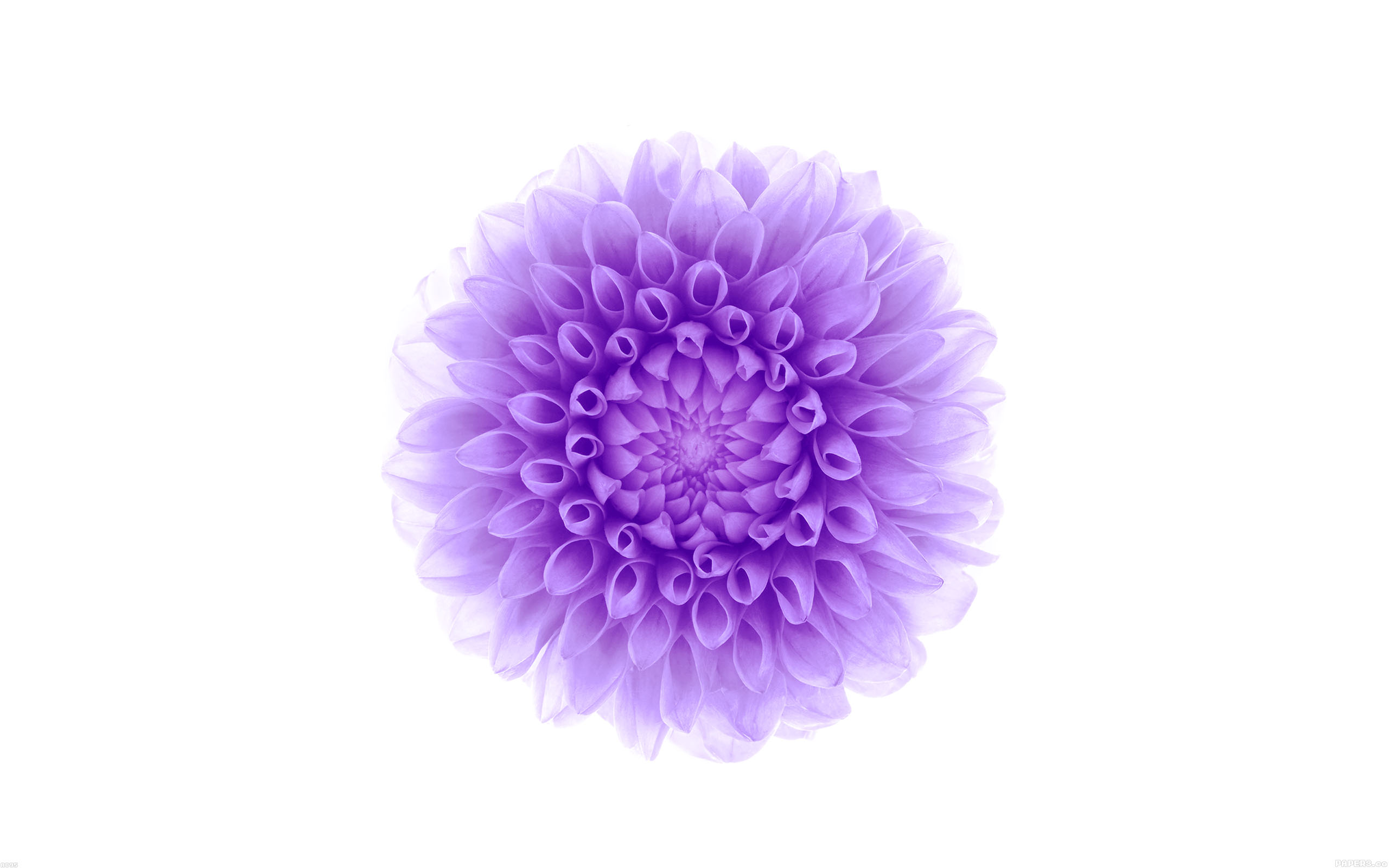 Ac95 Wallpaper Apple Iphone6 Plus Ios8 Flower Purple Wallpaper