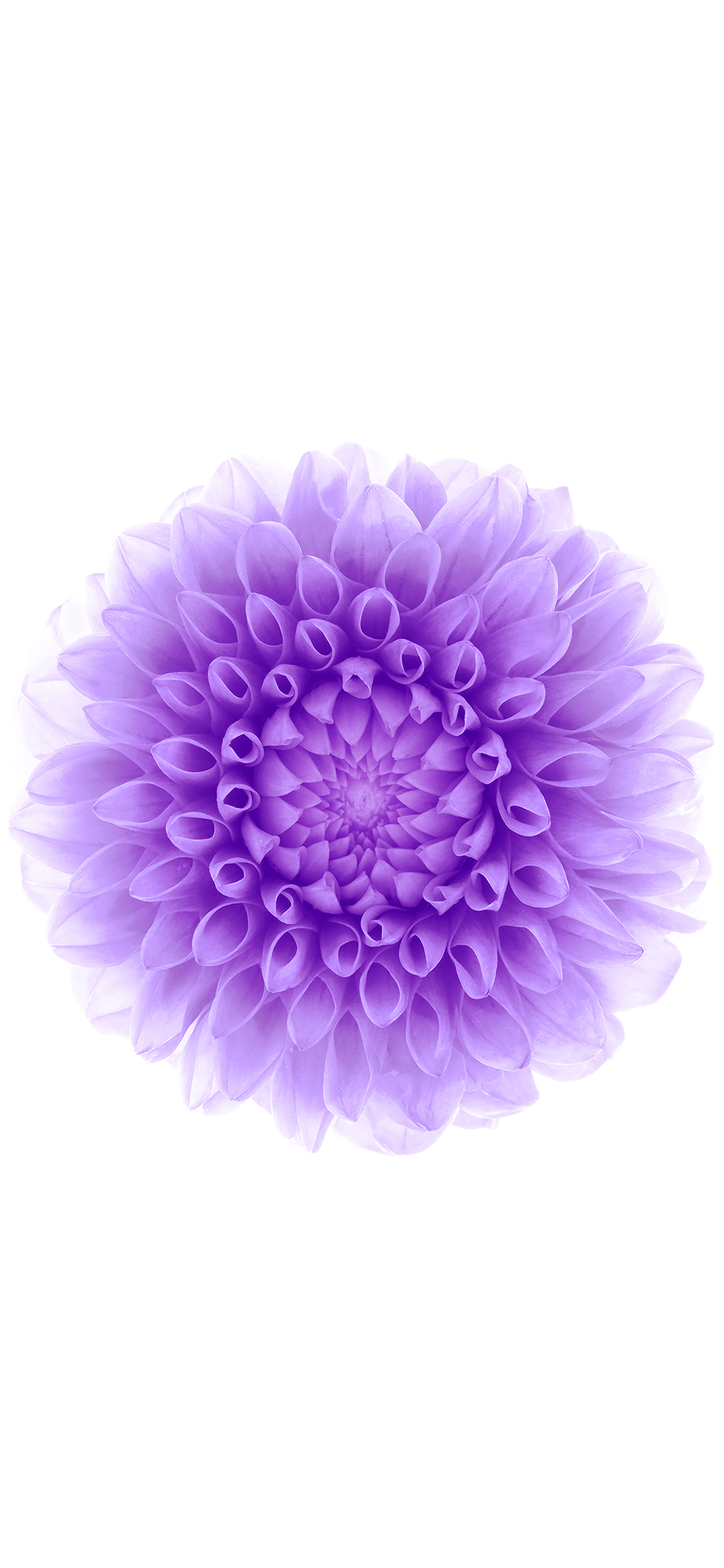iPhoneXpapers.com-Apple-iPhone-wallpaper-ac95-wallpaper-apple-iphone6-plus-ios8-flower-purple