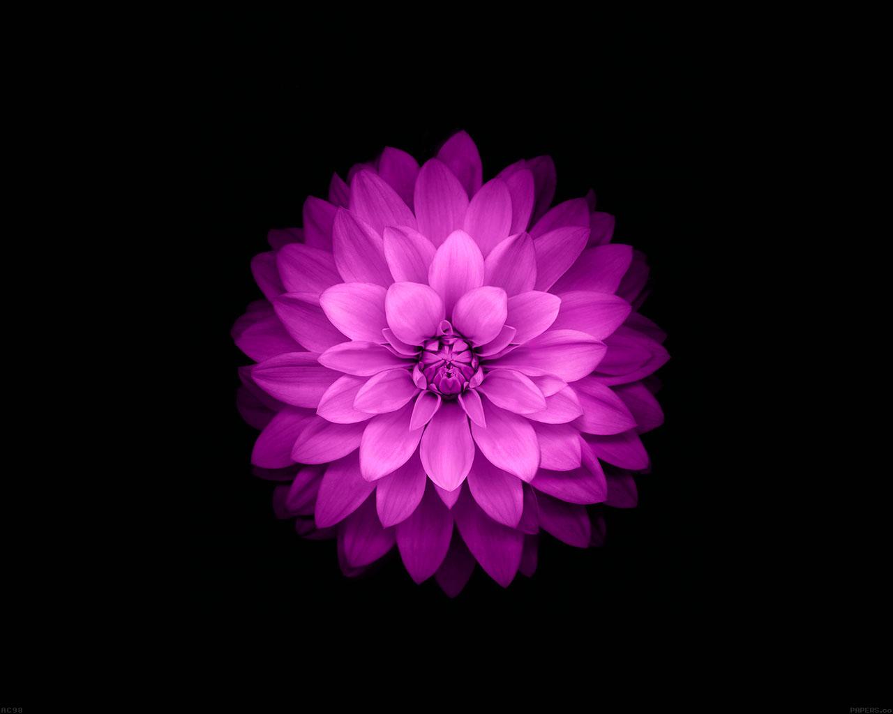ac98-wallpaper-apple-red-lotus-iphone6-plus-ios8-flower-wallpaper