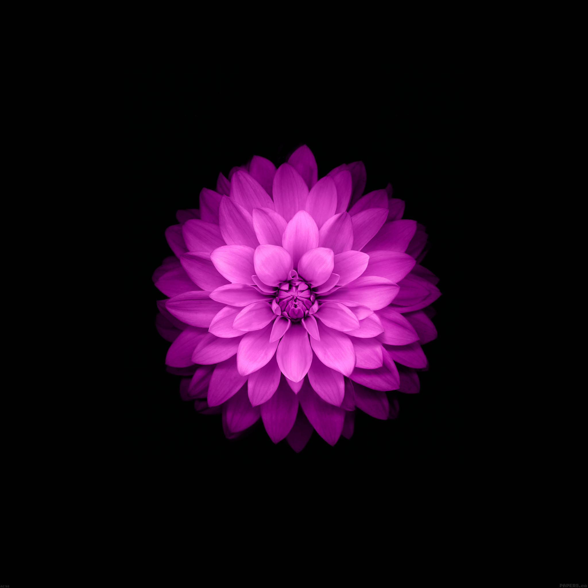 Ac98-wallpaper-apple-red-lotus-iphone6-plus-ios8-flower