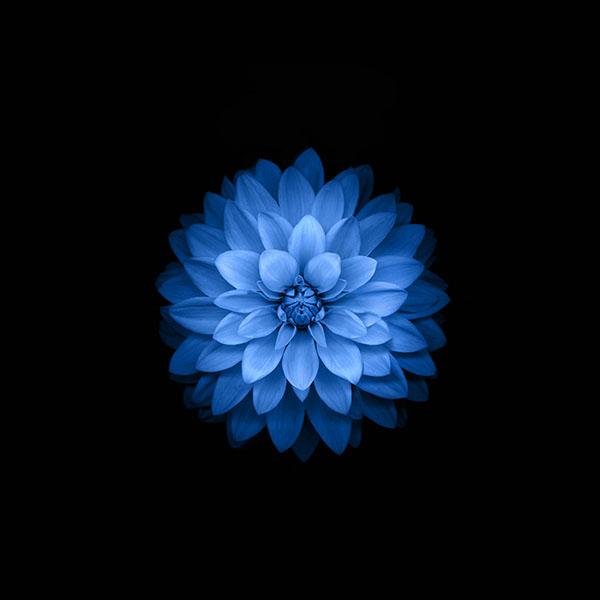 iPapers.co-Apple-iPhone-iPad-Macbook-iMac-wallpaper-ac99-wallpaper-apple-blue-lotus-iphone6-plus-ios8-flower