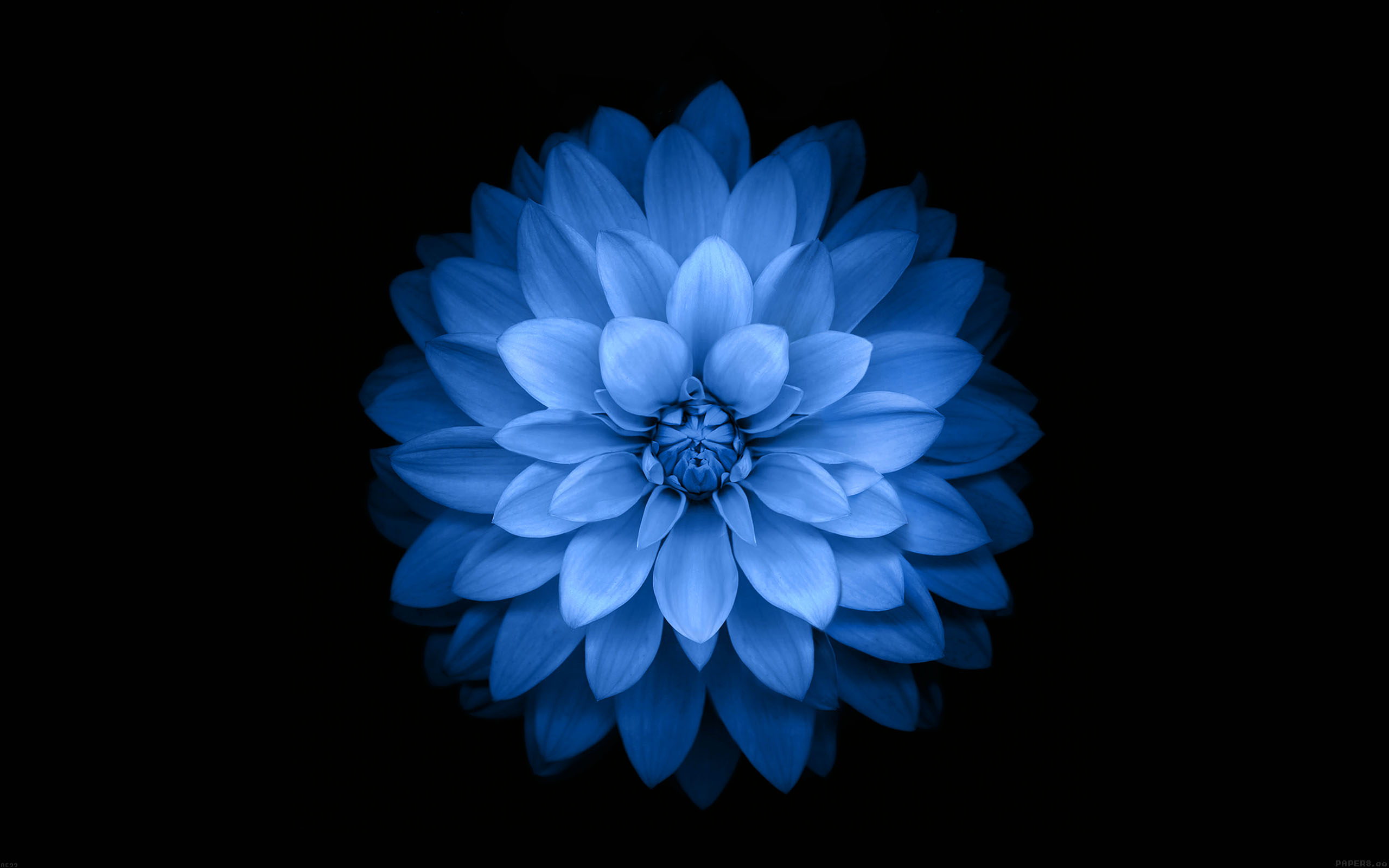 ac99 wallpaper apple blue lotus iphone6 plus ios8 flower
