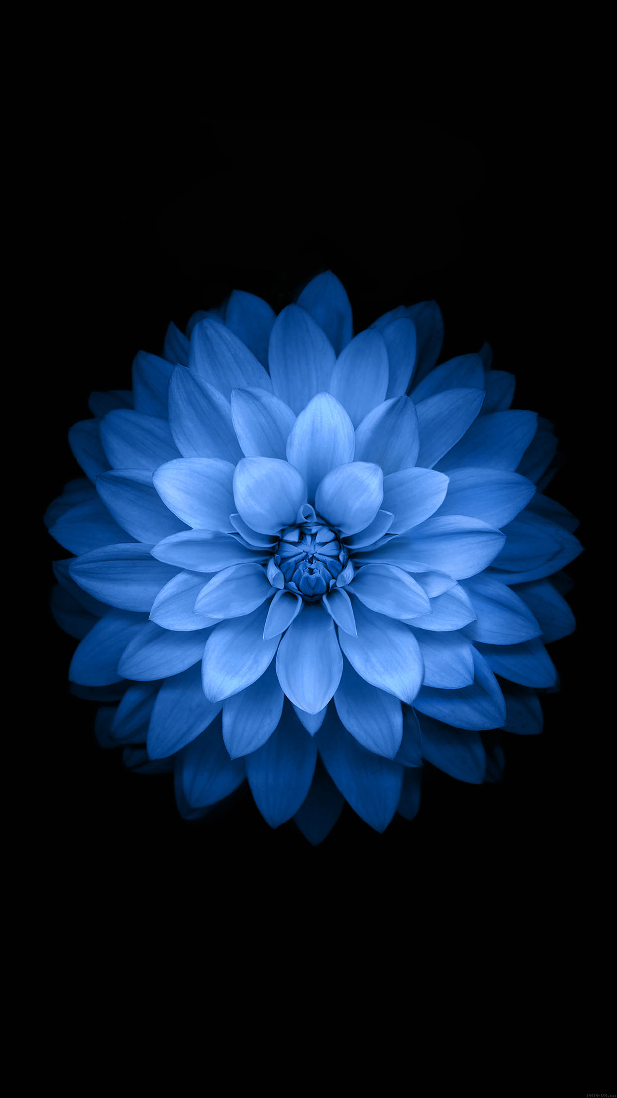 Ac99 Wallpaper Apple Blue Lotus Iphone6 Plus Ios8 Flower