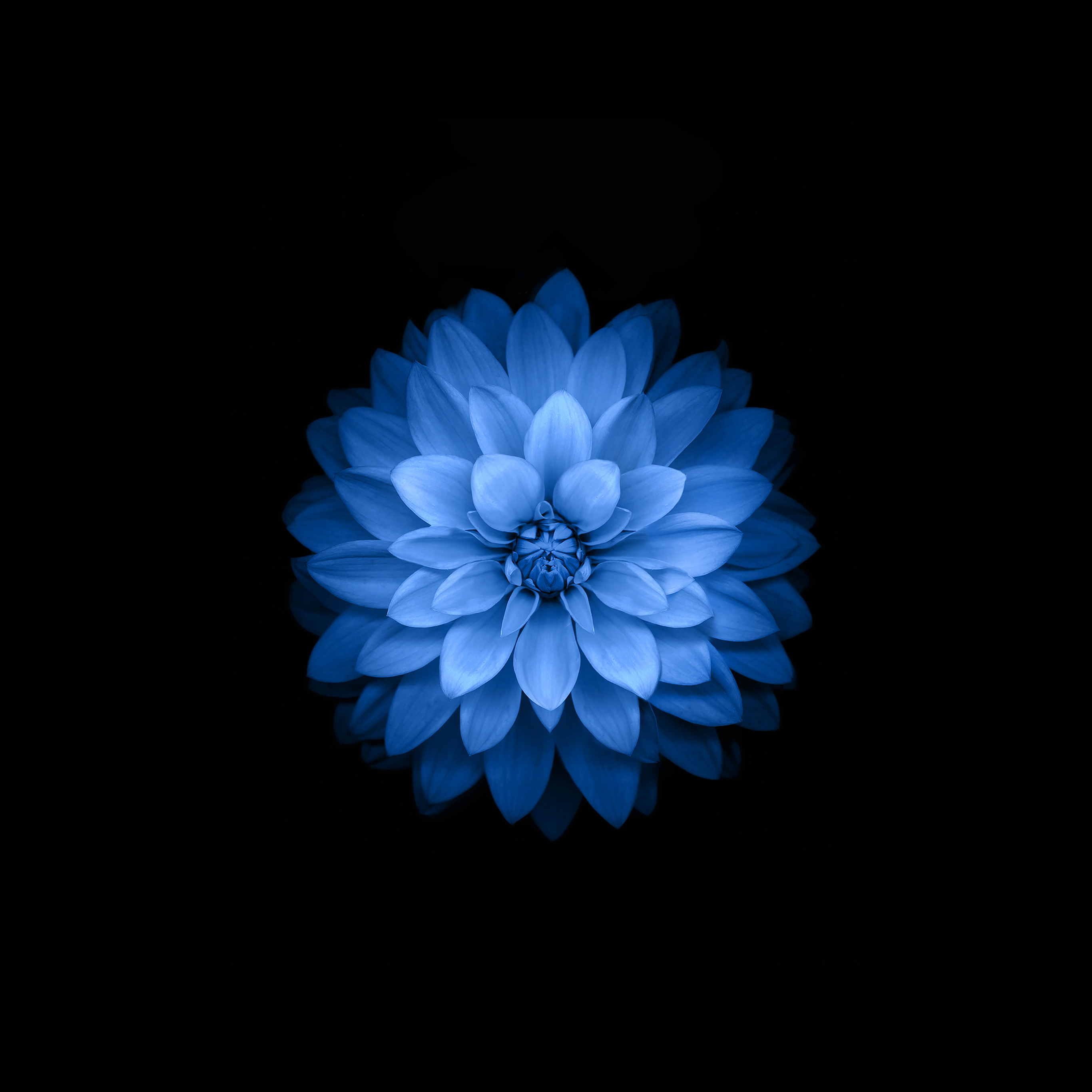 Ac99 Wallpaper Apple Blue Lotus Iphone6 Plus Ios8 Flower Wallpaper
