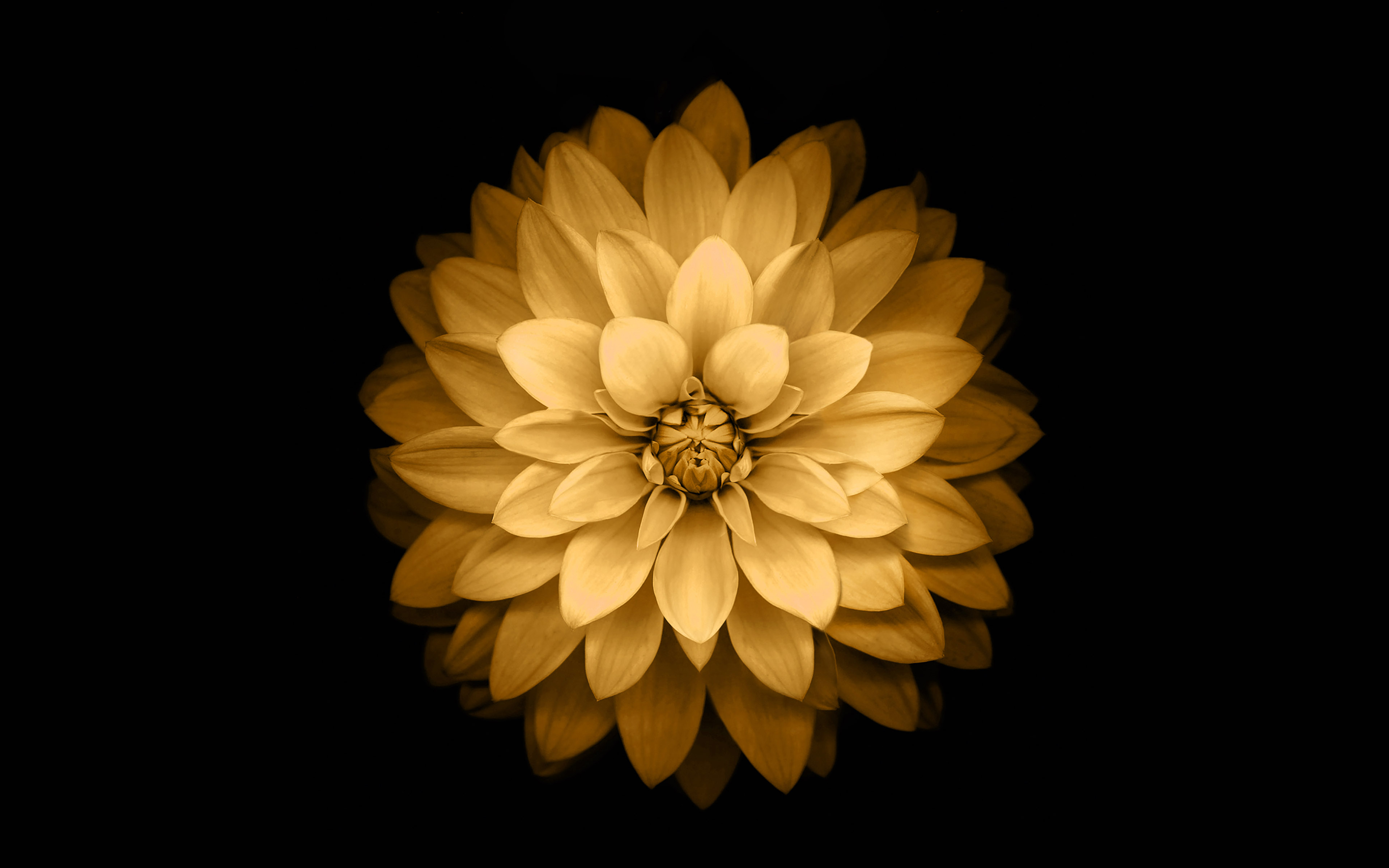 Ad39 Apple Yellow Lotus Iphone6 Plus Ios8 Flower Wallpaper
