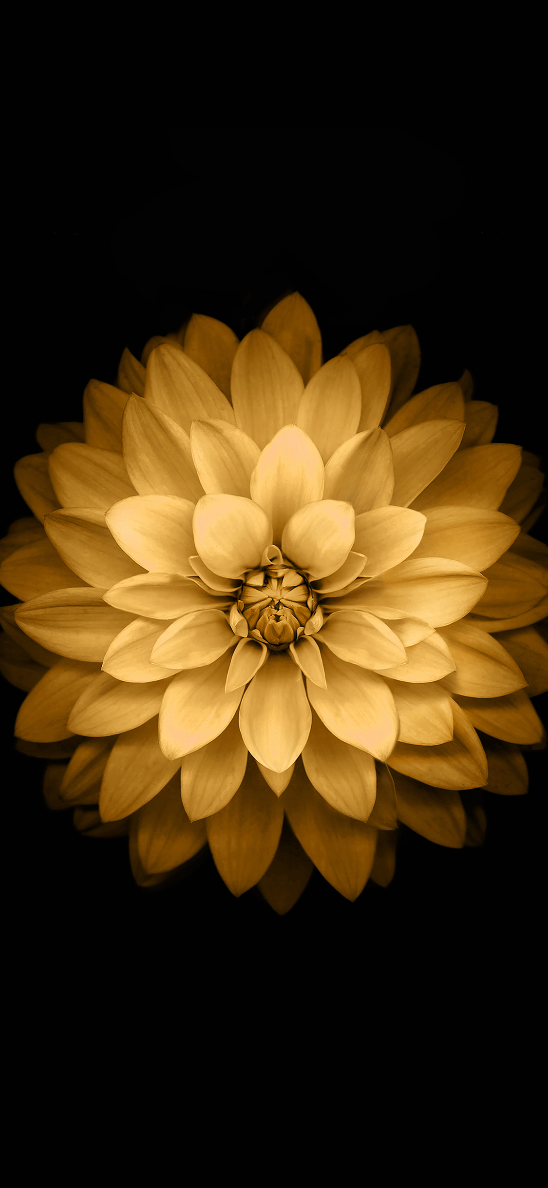Ad39 Apple Yellow Lotus Iphone6 Plus Ios8 Flower Wallpaper