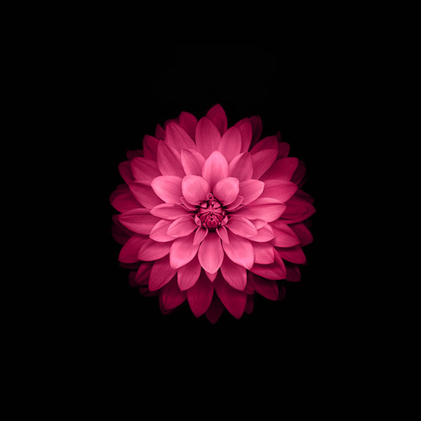 iPapers.co-Apple-iPhone-iPad-Macbook-iMac-wallpaper-ad40-apple-red-lotus-iphone6-plus-ios8-flower