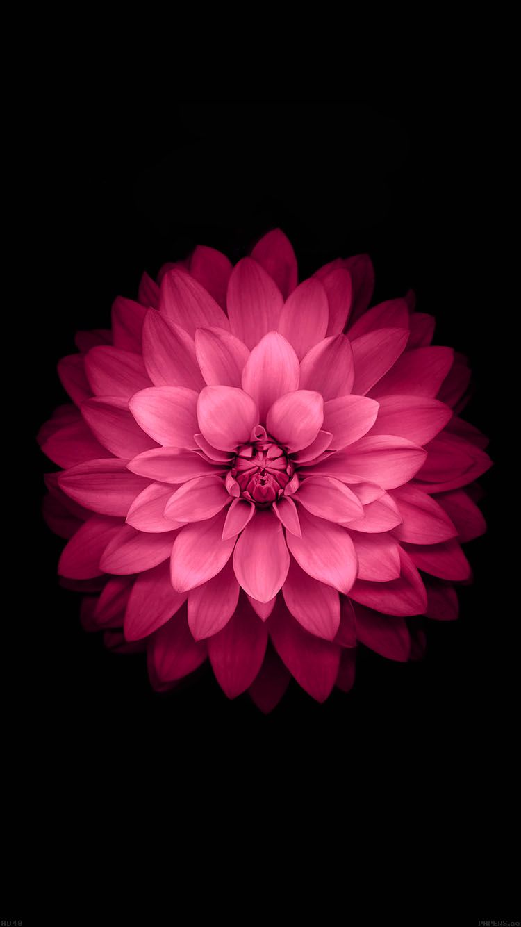 iPhone6papers.co-Apple-iPhone-6-iphone6-plus-wallpaper-ad40-apple-red-lotus-iphone6-plus-ios8-flower