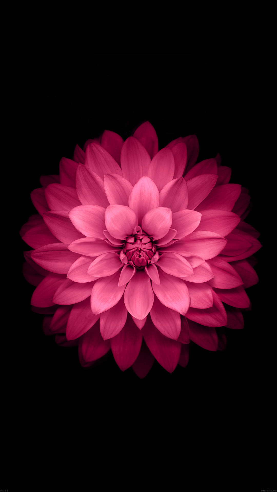 Ad40 Apple Red Lotus Iphone6 Plus Ios8 Flower Wallpaper