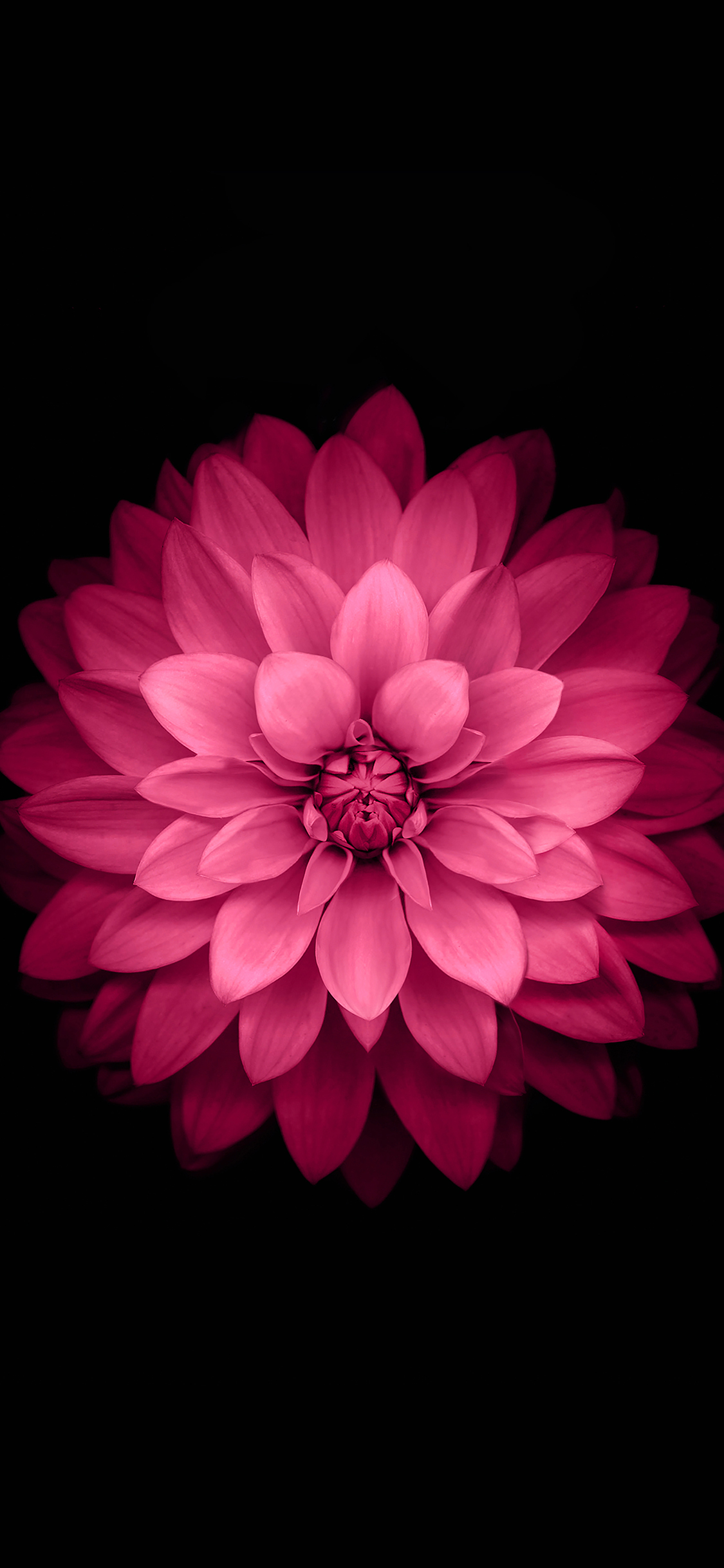 iPhoneXpapers.com-Apple-iPhone-wallpaper-ad40-apple-red-lotus-iphone6-plus-ios8-flower