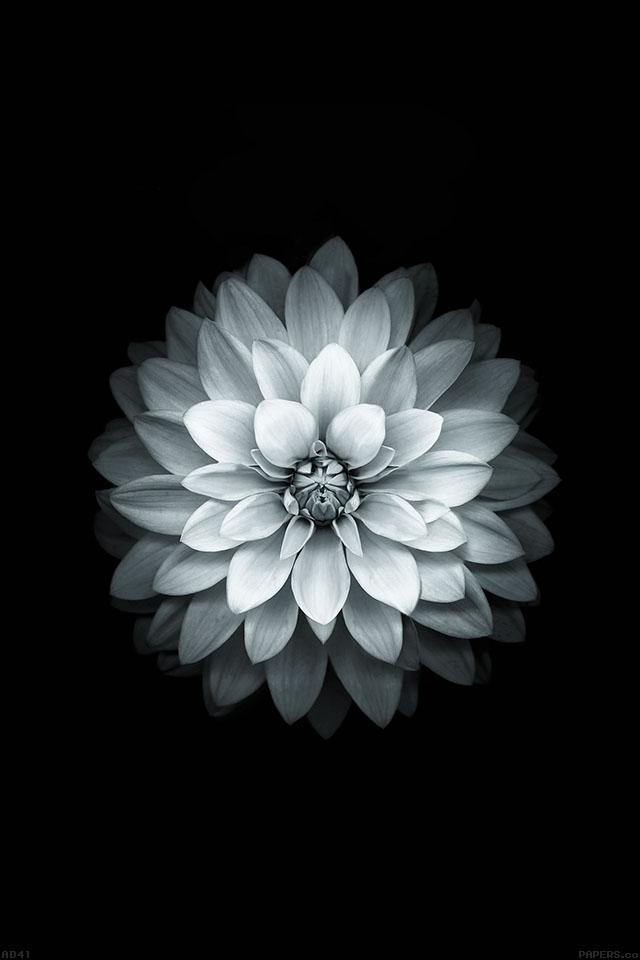 Freeios7 ad41 apple white lotus iphone6 plus ios8 flower freeios7 iphone 4 iphone 5 ios7 wallpaperad41 mightylinksfo