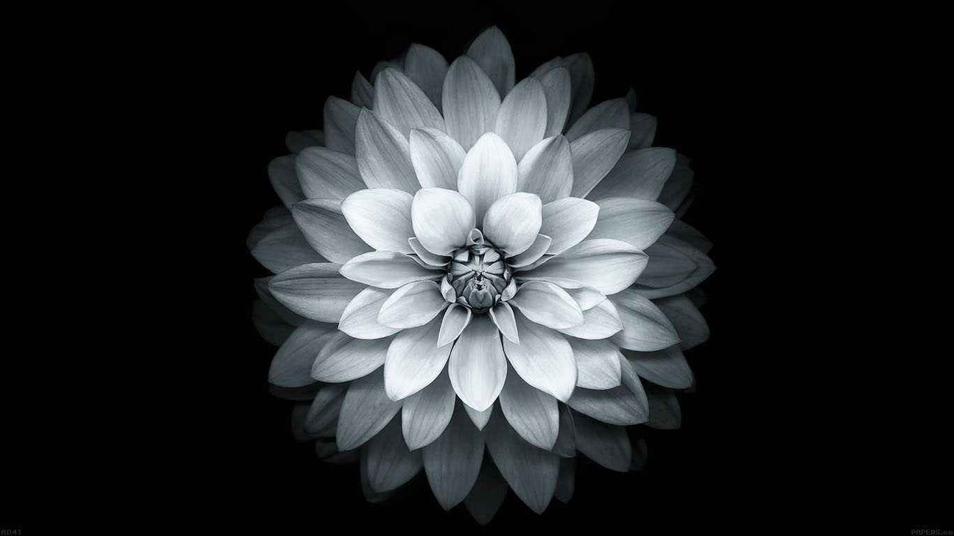 iPapers.co-Apple-iPhone-iPad-Macbook-iMac-wallpaper-ad41-apple-white-lotus-iphone6-plus-ios8-flower