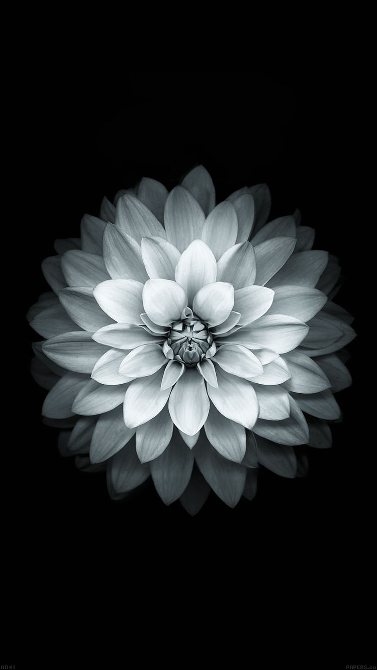iPhonepapers.com-Apple-iPhone8-wallpaper-ad41-apple-white-lotus-iphone6-plus-ios8-flower