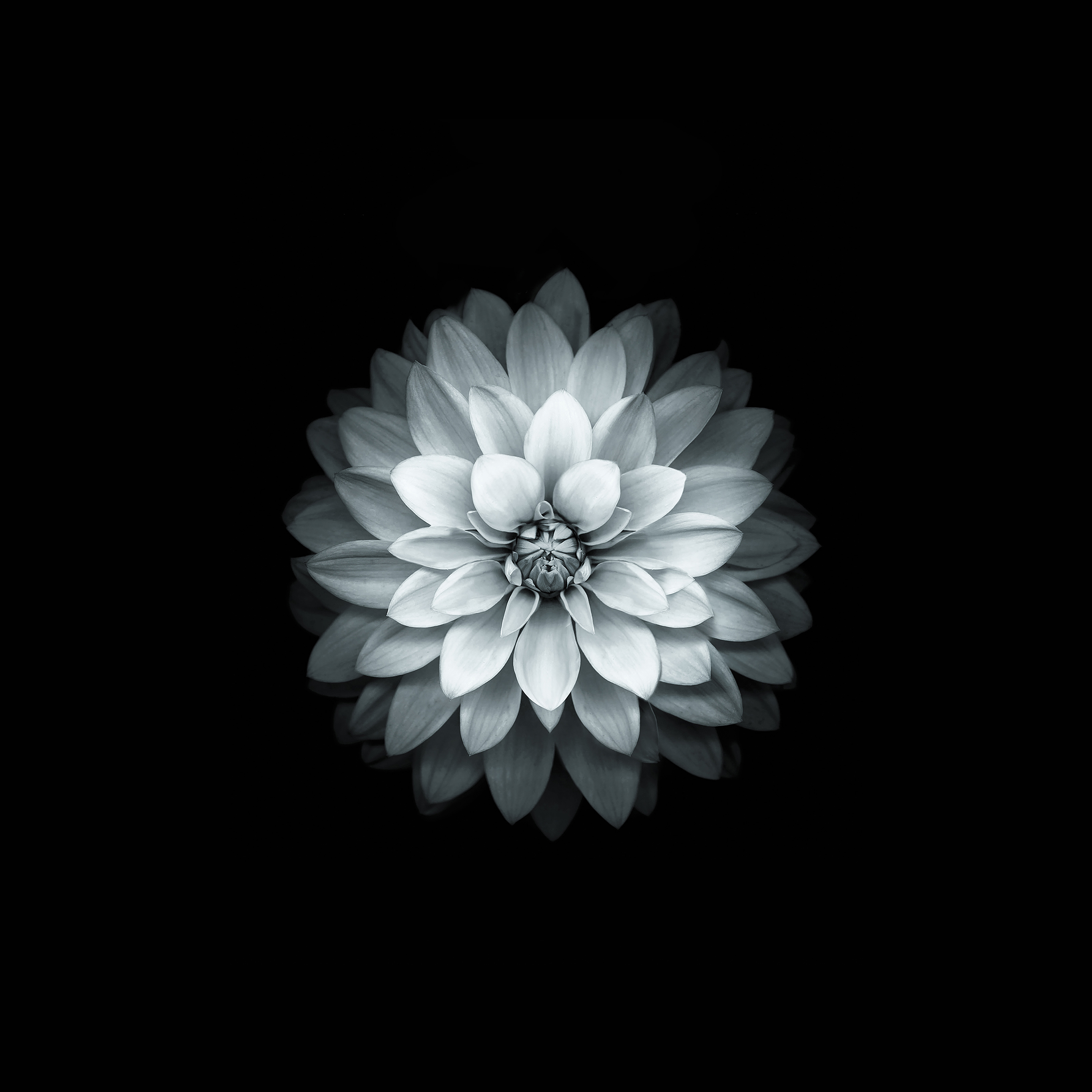 Papers Android Wallpaper Ad41 Apple White Lotus Iphone6 Plus