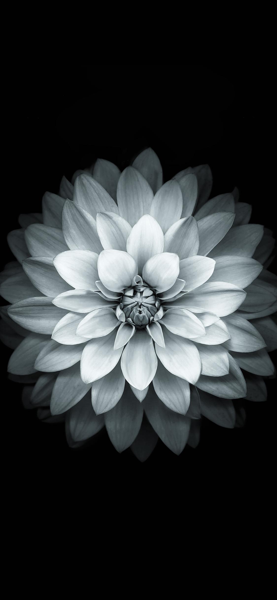 iPhoneXpapers.com-Apple-iPhone-wallpaper-ad41-apple-white-lotus-iphone6-plus-ios8-flower