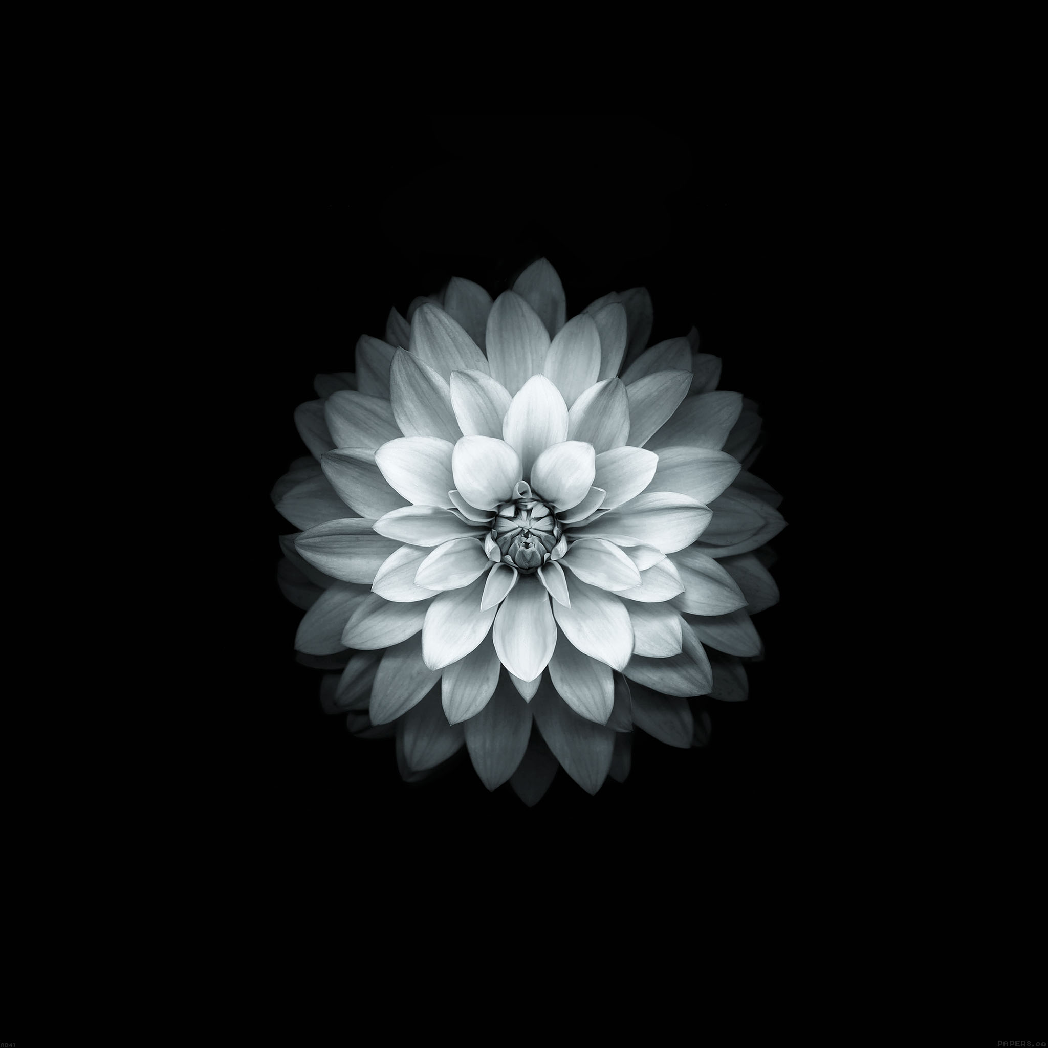 Ad41 Apple White Lotus Iphone6 Plus Ios8 Flower Wallpaper
