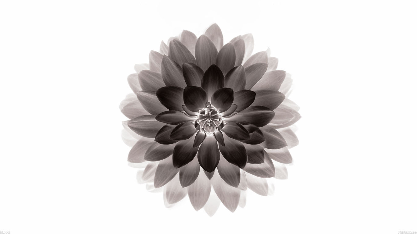 iPapers.co-Apple-iPhone-iPad-Macbook-iMac-wallpaper-ad42-apple-black-lotus-iphone6-plus-ios8-flower