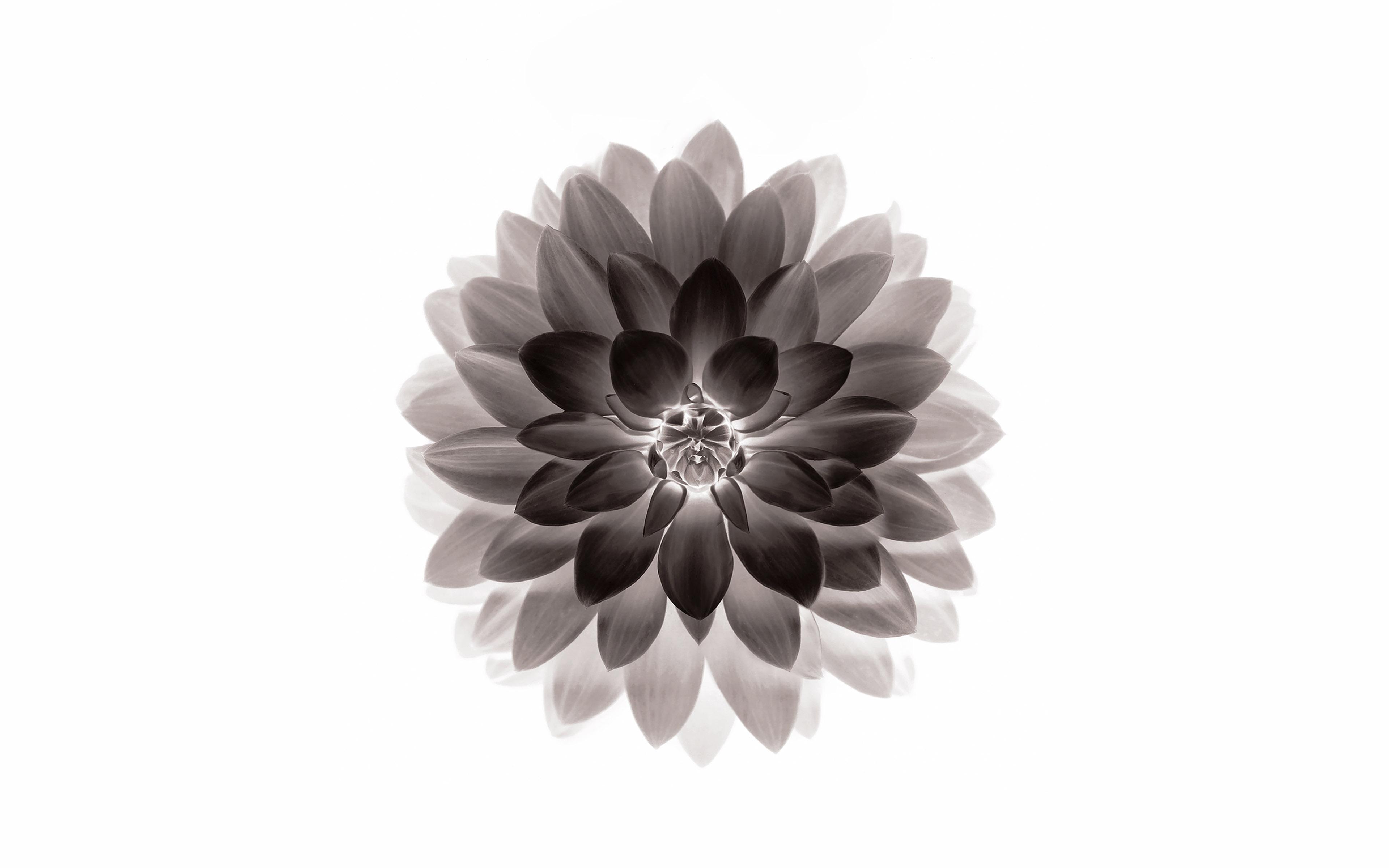 ad42-apple-black-lotus-iphone6-plus-ios8-flower - Papers.co