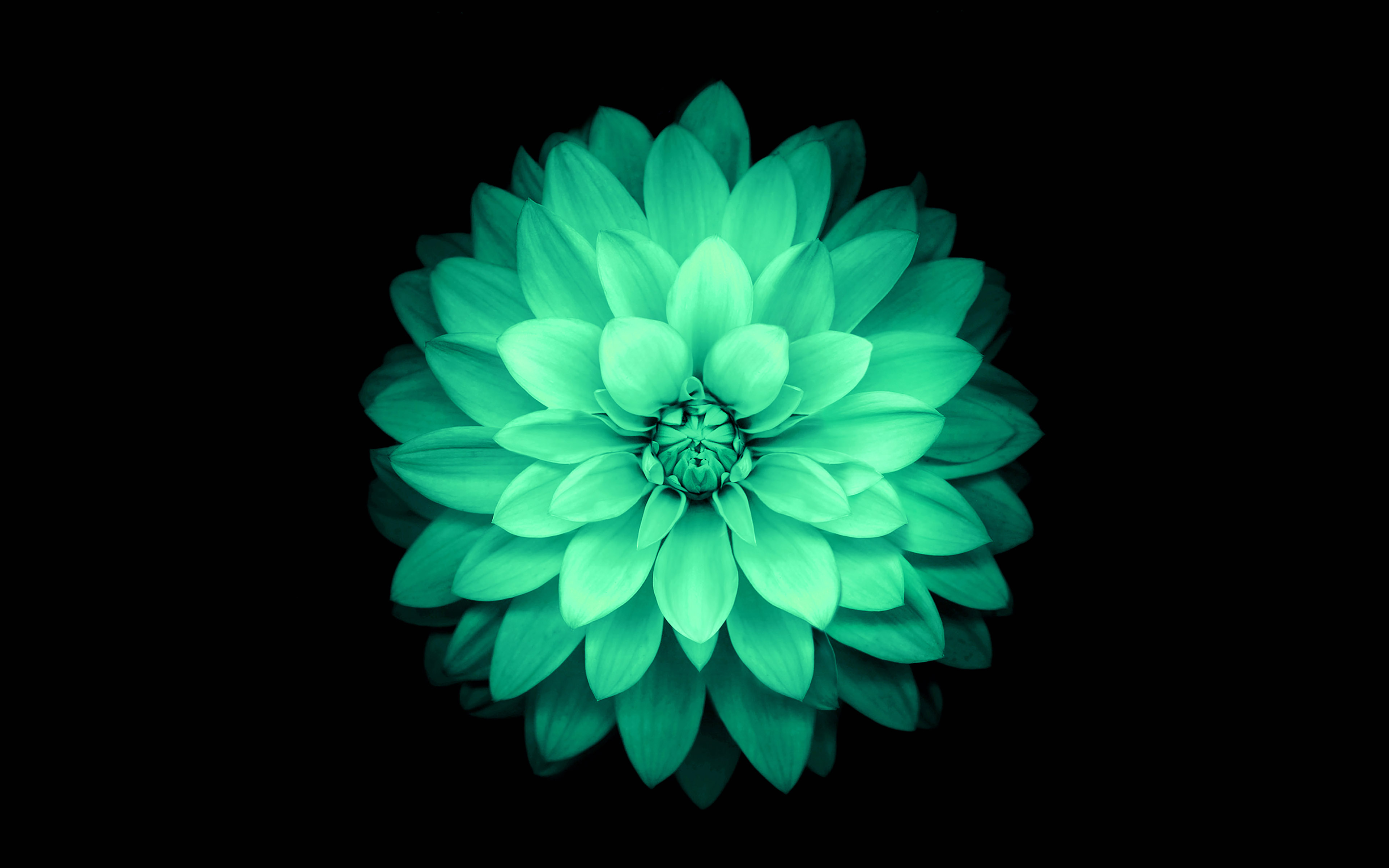 ad76-apple-green-lotus-iphone6-plus-ios8-flower - Papers.co