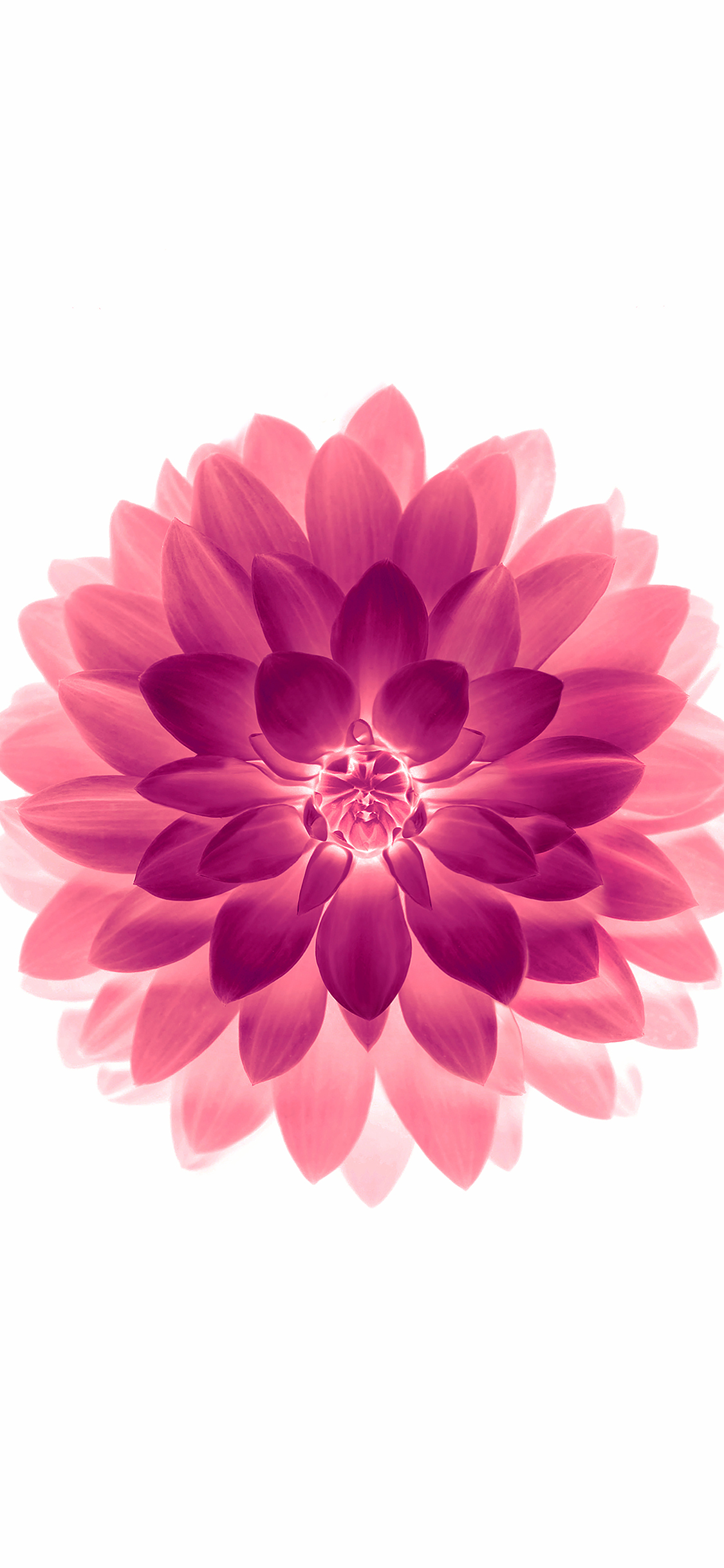 iPhoneXpapers.com-Apple-iPhone-wallpaper-ad77-apple-red-on-white-lotus-iphone6-plus-ios8-flower