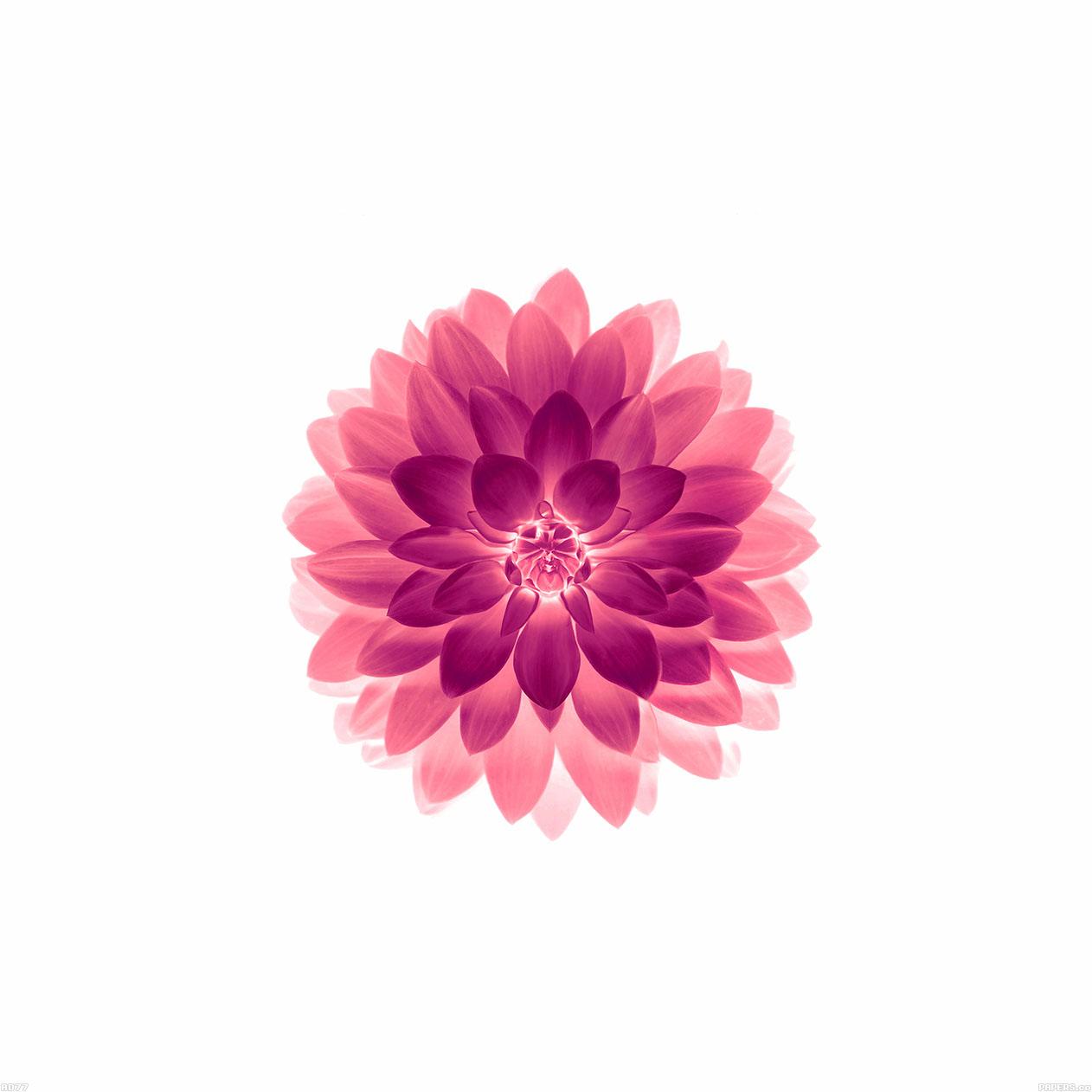 FREEIOS7 | ad77-apple-red-on-white-lotus-iphone6-plus-ios8