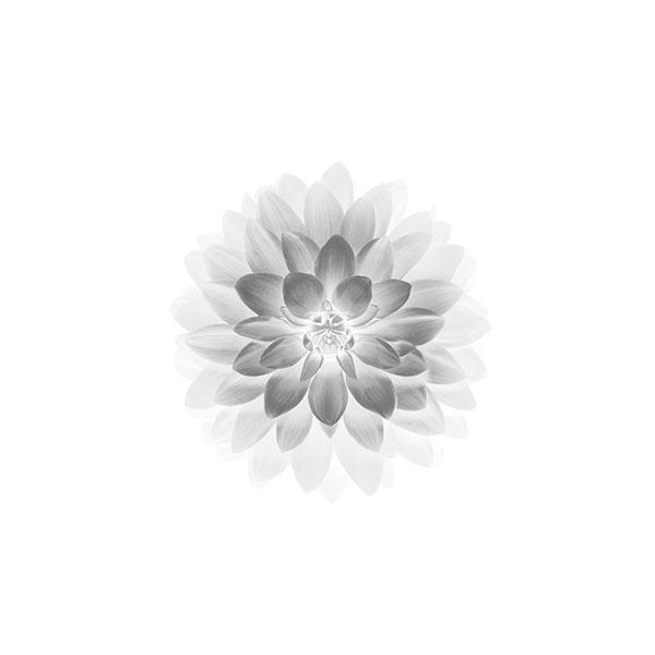 iPapers.co-Apple-iPhone-iPad-Macbook-iMac-wallpaper-ad78-apple-white-lotus-iphone6-plus-ios8-flower