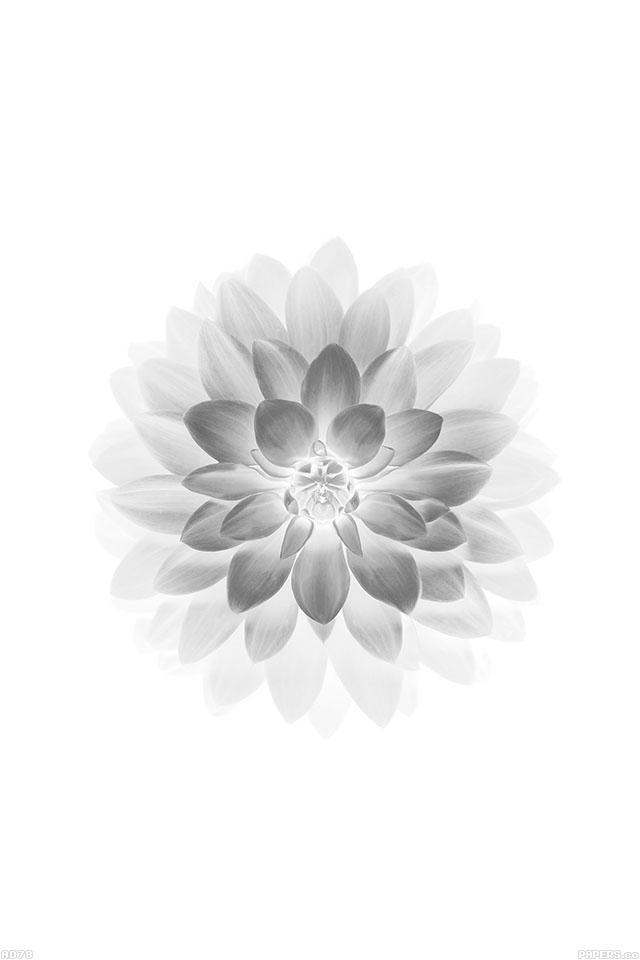 Freeios7 Ad78 Apple White Lotus Iphone6 Plus Ios8 Flower