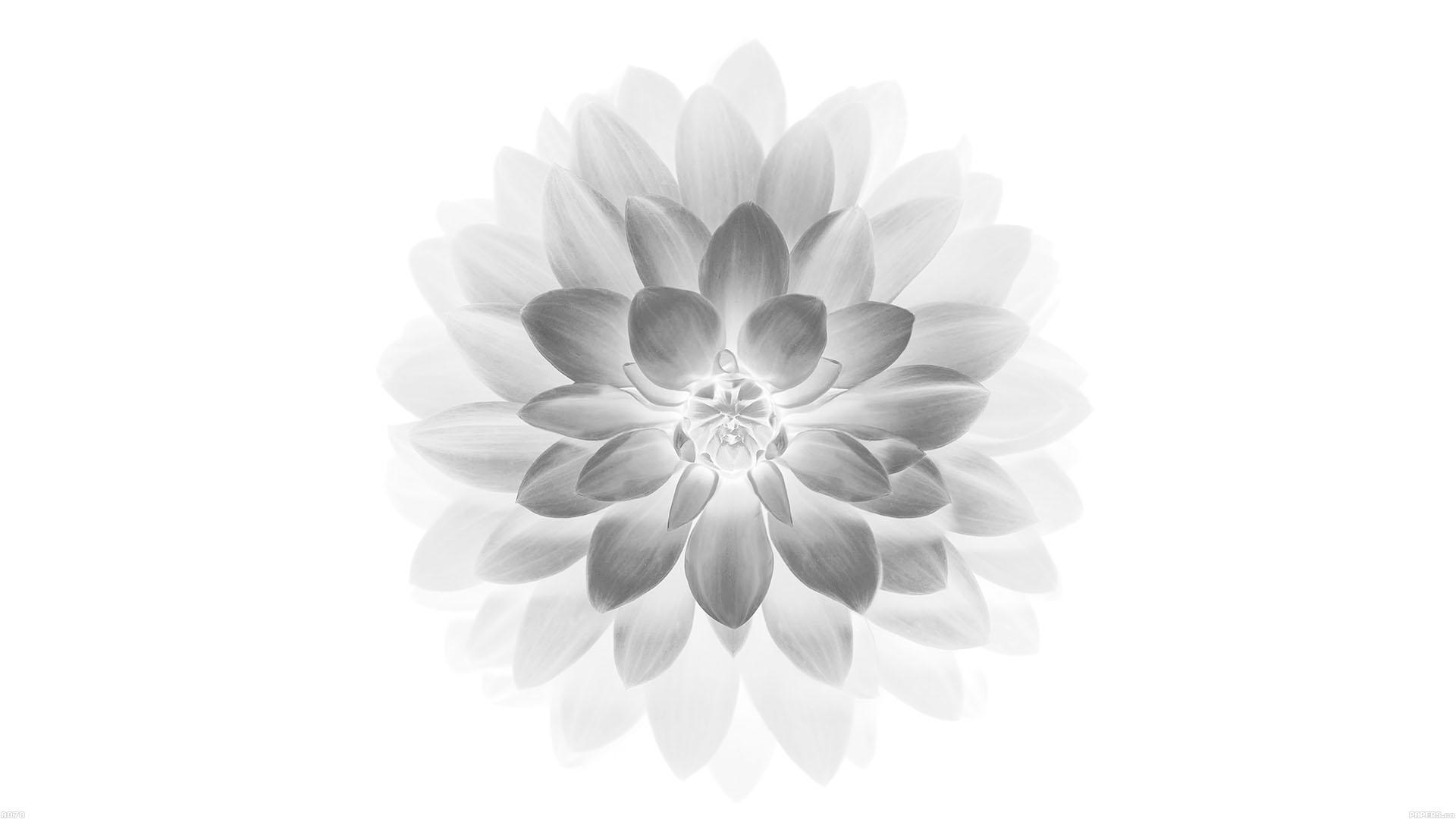 Ac96 Wallpaper Apple Iphone6 Plus Ios8 Flower Green: Ad78-apple-white-lotus-iphone6-plus-ios8-flower