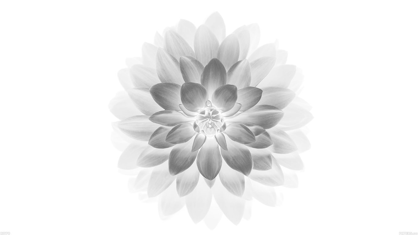 iPapers.co-Apple-iPhone-iPad-Macbook-iMac-wallpaper-ad78-apple-white-lotus-iphone6-plus-ios8-flower