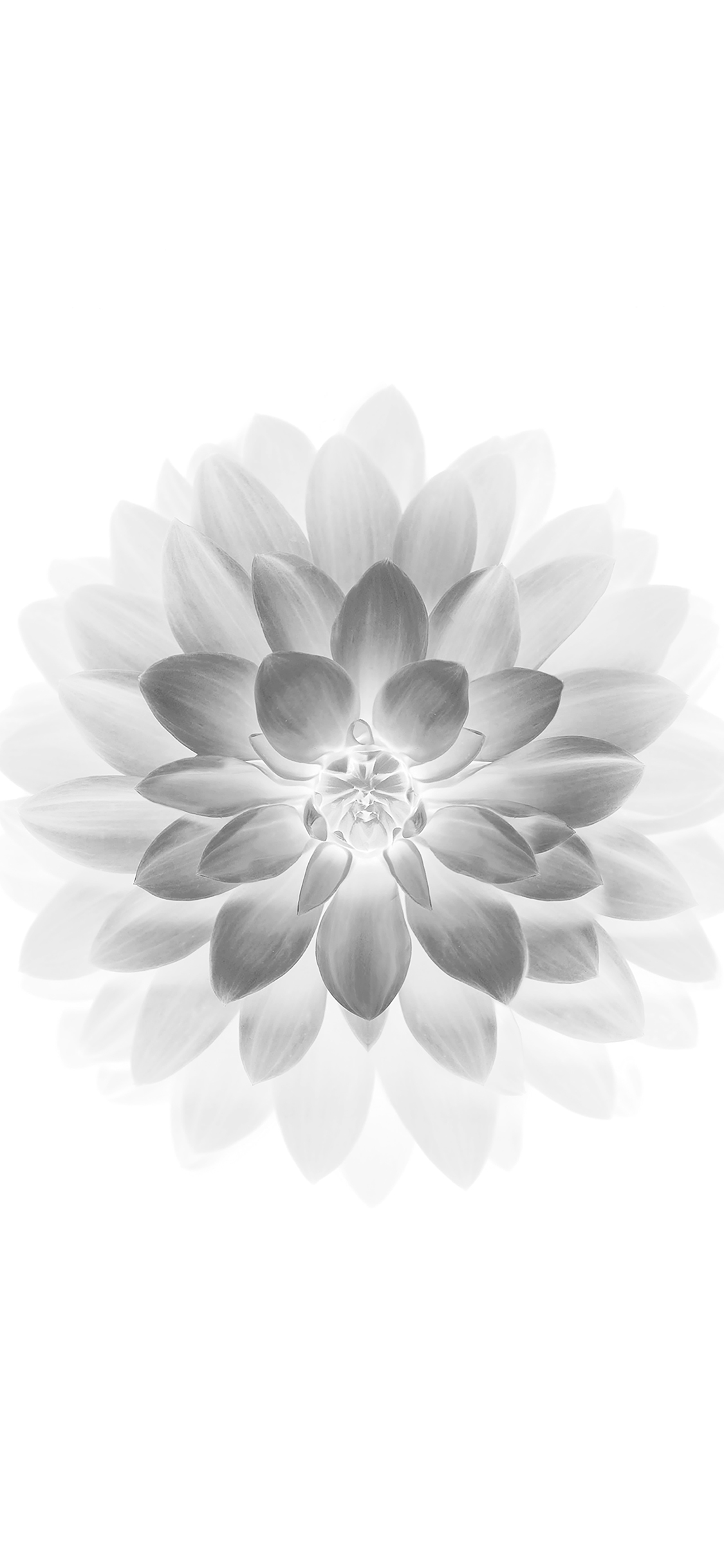 iPhoneXpapers.com-Apple-iPhone-wallpaper-ad78-apple-white-lotus-iphone6-plus-ios8-flower