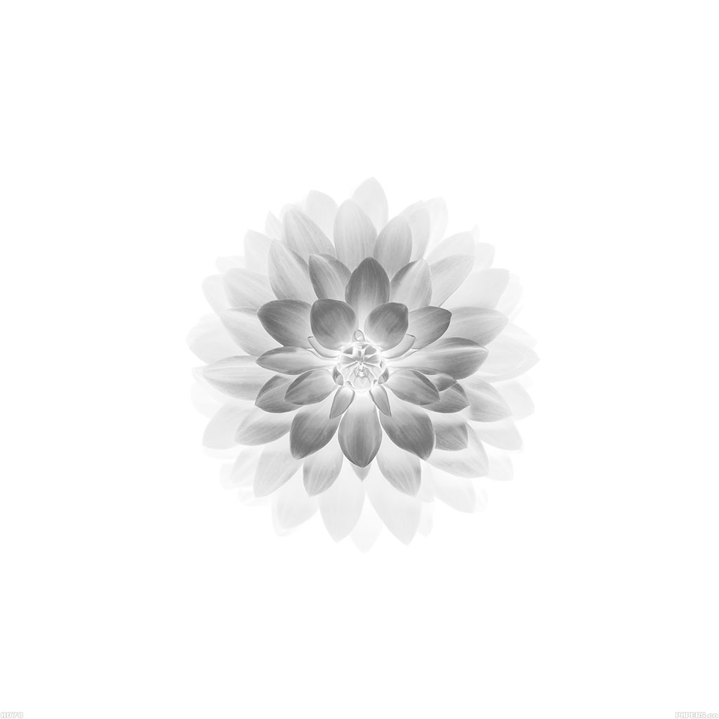 android-wallpaper-ad78-apple-white-lotus-iphone6-plus-ios8-flower-wallpaper