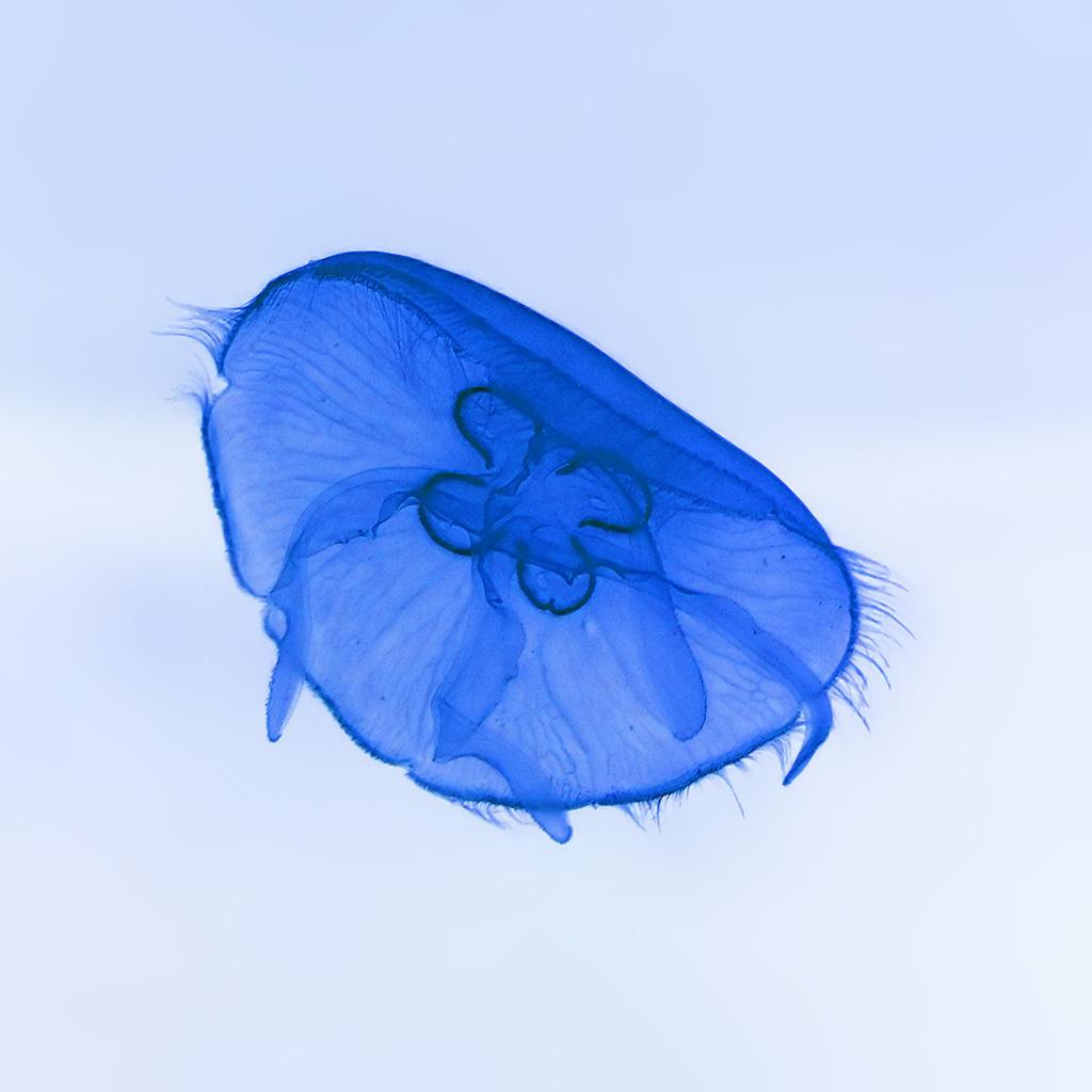 android-wallpaper-an05-deep-ocean-life-jellyfish-blue-white-nature-wallpaper