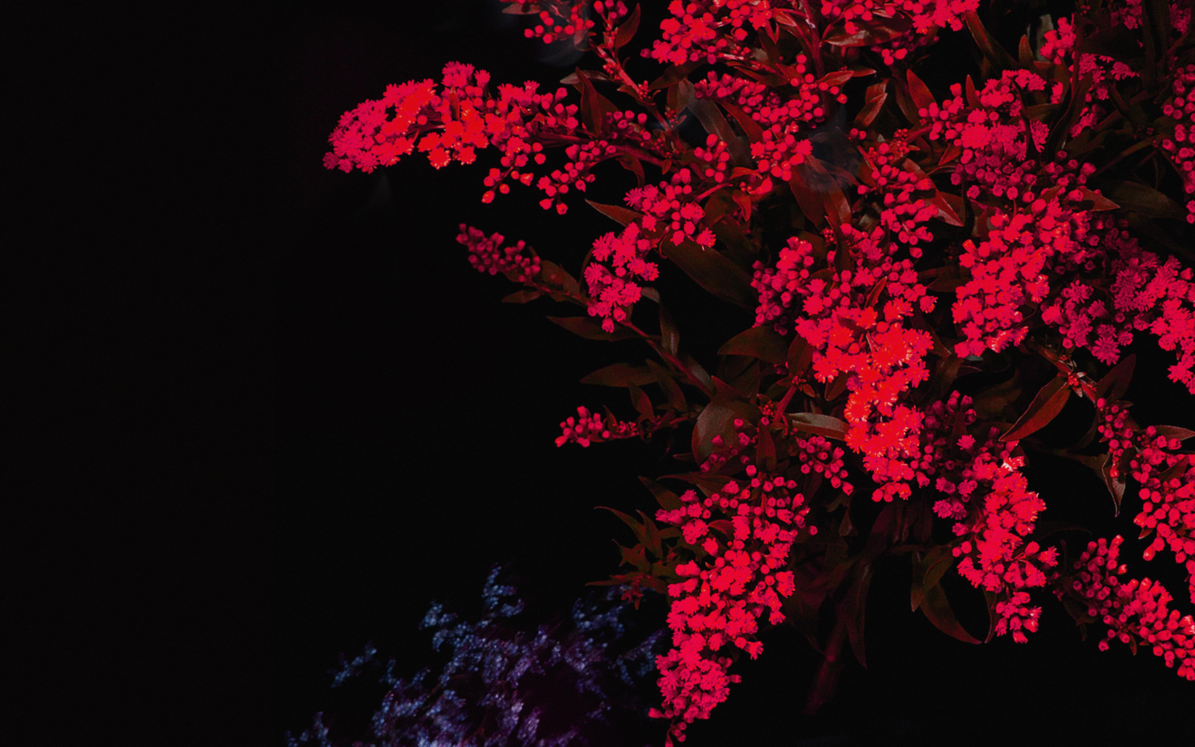 Desktoppapers Co An59 Apple Red Flower Dark Ios9 Iphone6s