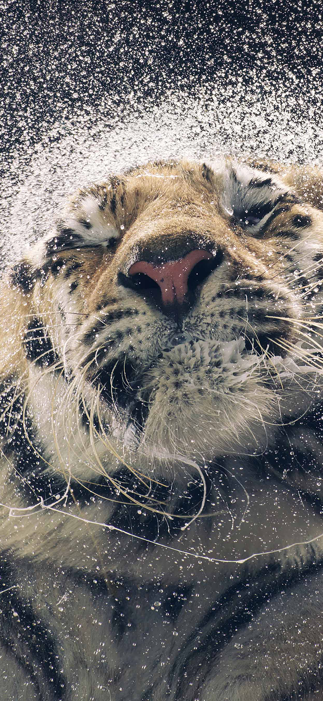 iPhoneXpapers.com-Apple-iPhone-wallpaper-aq69-kanja-shaking-tiger-water-animal