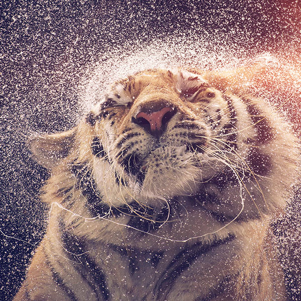 iPapers.co-Apple-iPhone-iPad-Macbook-iMac-wallpaper-aq70-kanja-shaking-tiger-water-animal-flare-wallpaper