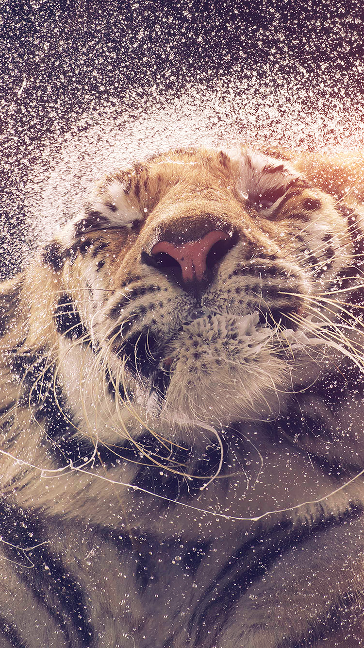 iPhone6papers.co-Apple-iPhone-6-iphone6-plus-wallpaper-aq70-kanja-shaking-tiger-water-animal-flare