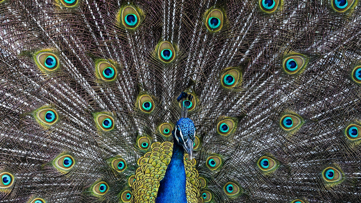 desktop-wallpaper-laptop-mac-macbook-air-as05-peacock-animal-bird-art-wallpaper