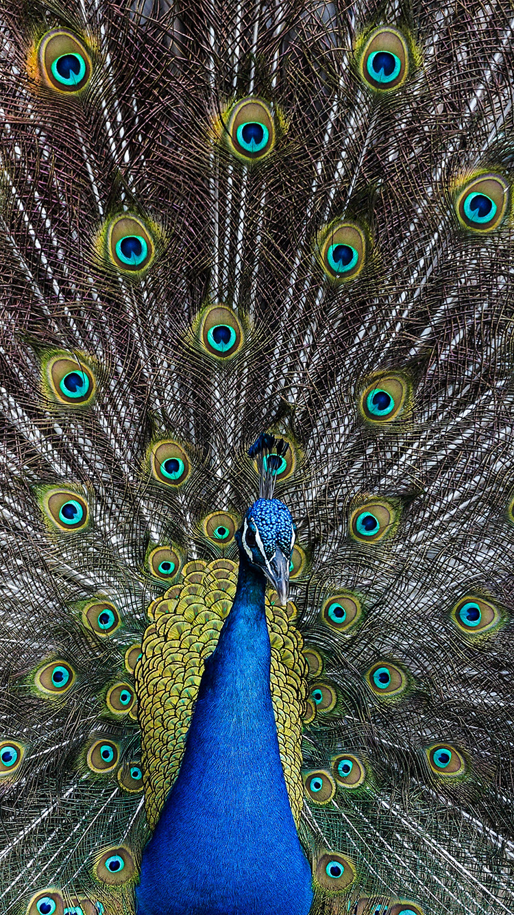 iPhone6papers.co-Apple-iPhone-6-iphone6-plus-wallpaper-as05-peacock-animal-bird-art