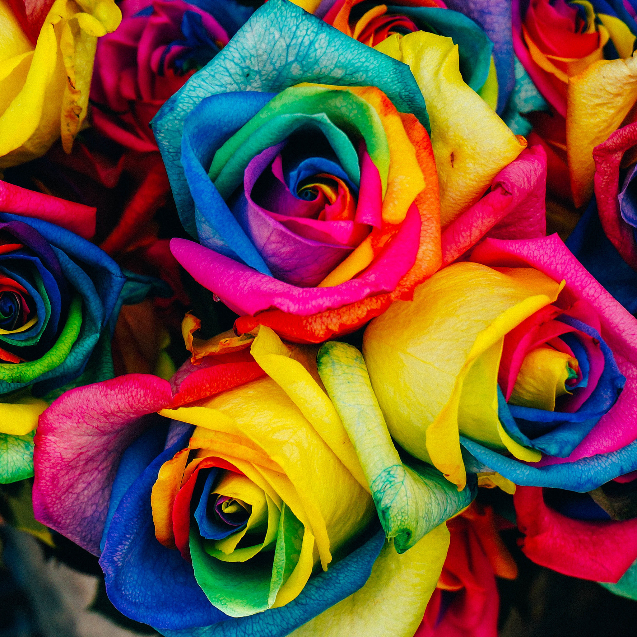 As98 flower rose color rainbow art nature wallpaper for Rainbow colored rose