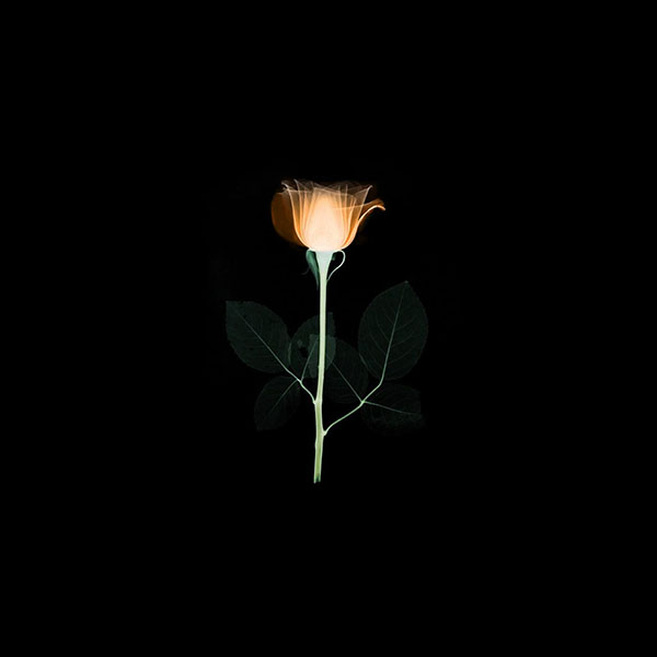 iPapers.co-Apple-iPhone-iPad-Macbook-iMac-wallpaper-at75-flower-xray-simple-minimal-orange-rose-dark-art-illustration-wallpaper