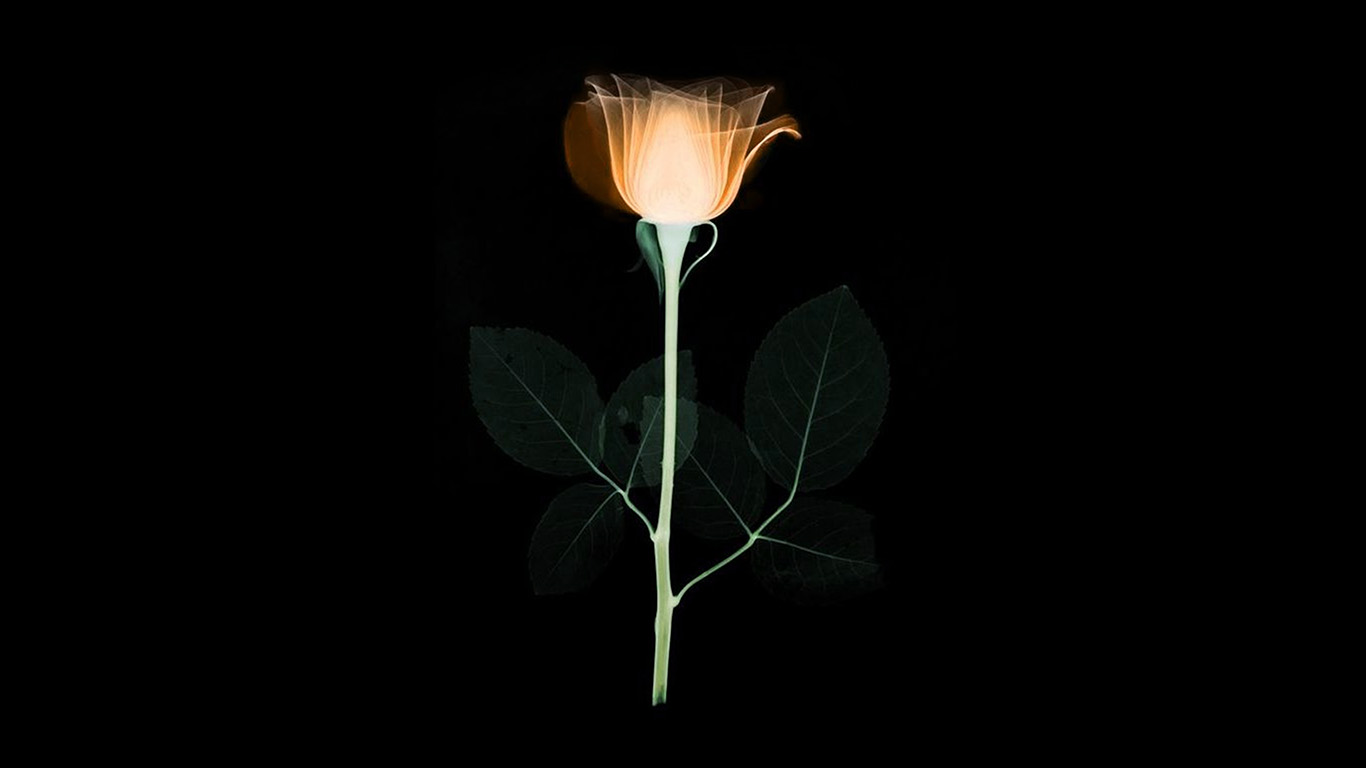 desktop-wallpaper-laptop-mac-macbook-air-at75-flower-xray-simple-minimal-orange-rose-dark-art-illustration-wallpaper