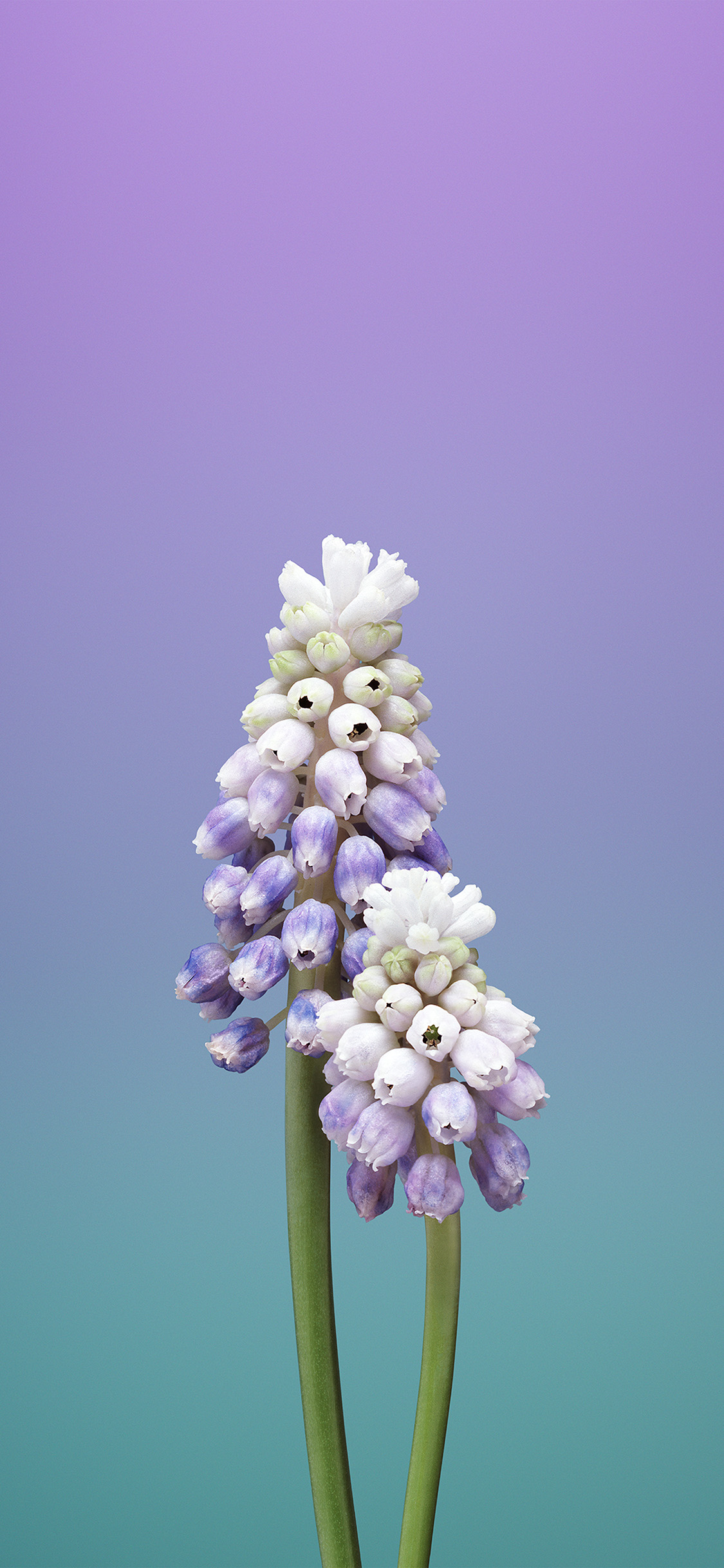 iPhoneXpapers.com-Apple-iPhone-wallpaper-bb95-flower-gradation-purple-green-apple-illustration-art