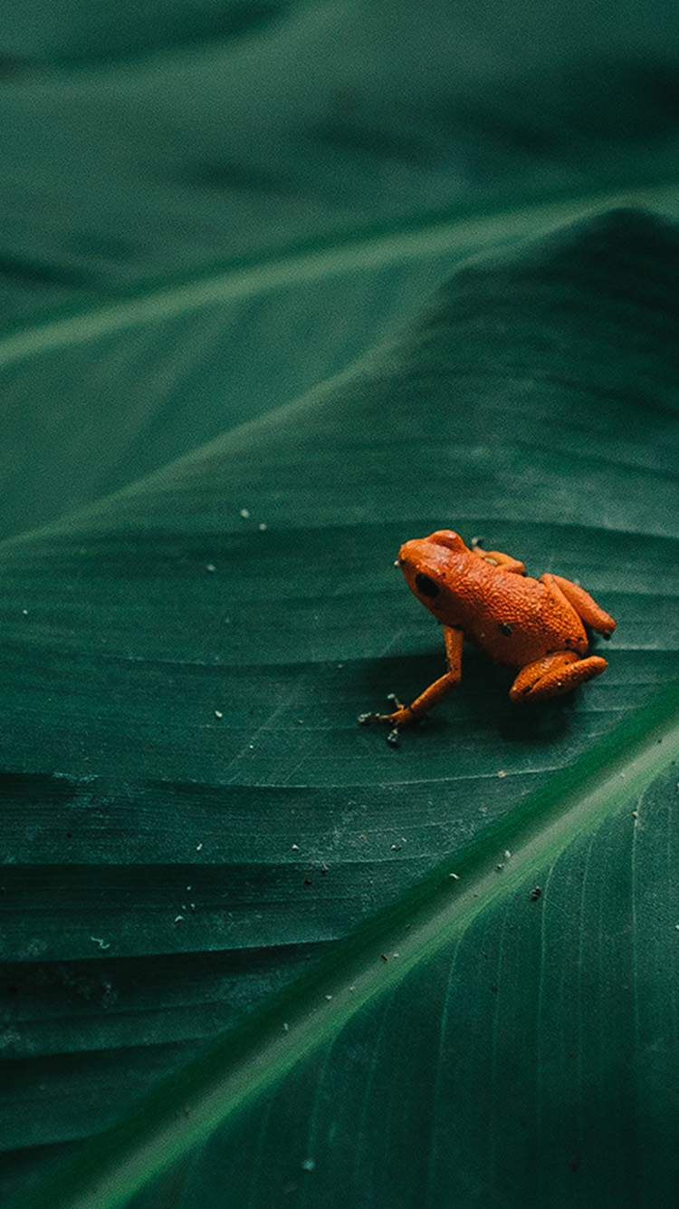 iPhone7papers.com-Apple-iPhone7-iphone7plus-wallpaper-bi16-frog-leaf-orange-nature-art