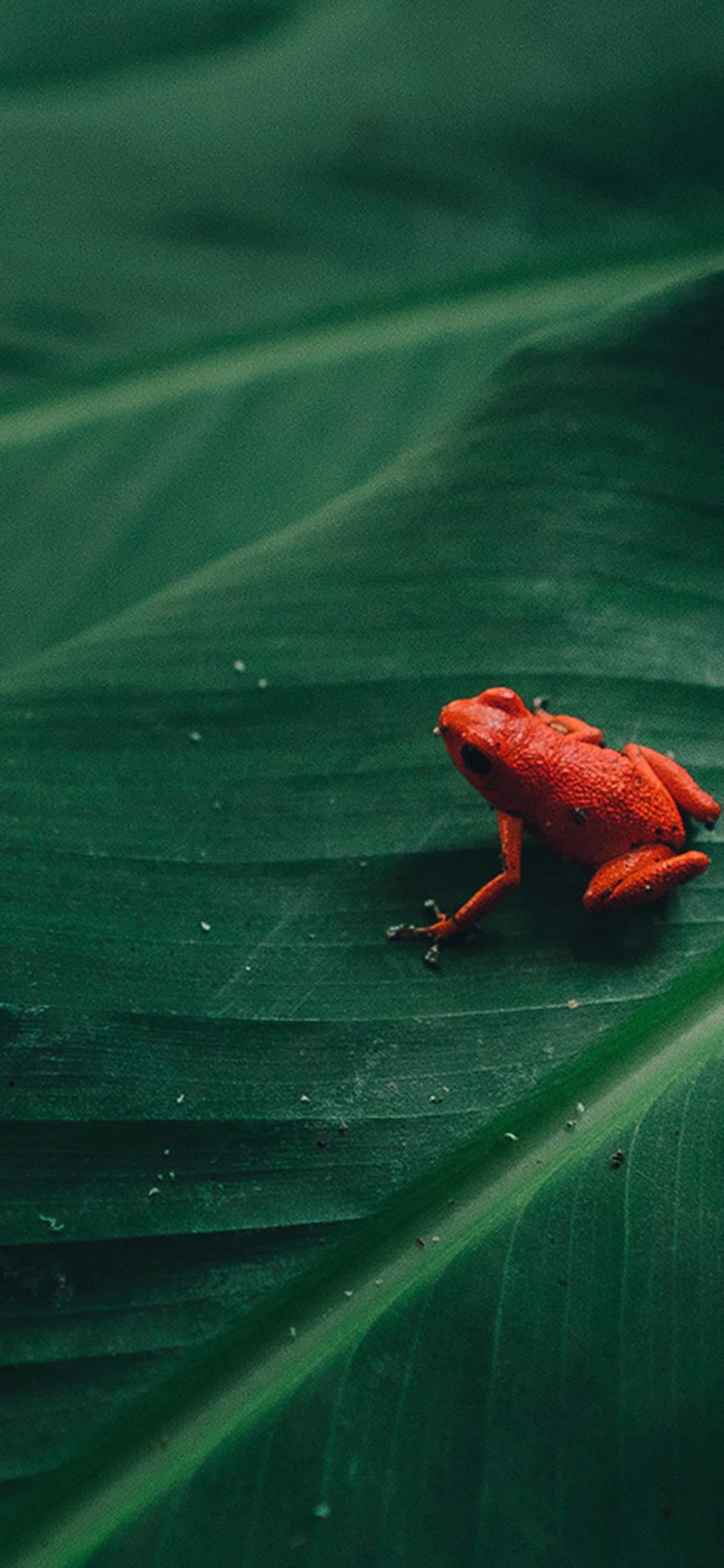 iPhonexpapers.com-Apple-iPhone-wallpaper-bi17-frog-leaf-red-nature-art