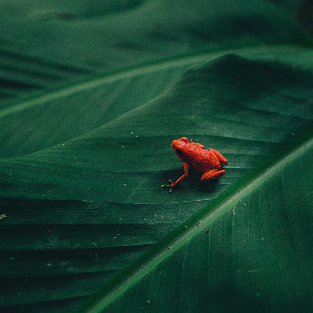 wallpaper-bi17-frog-leaf-red-nature-art-wallpaper